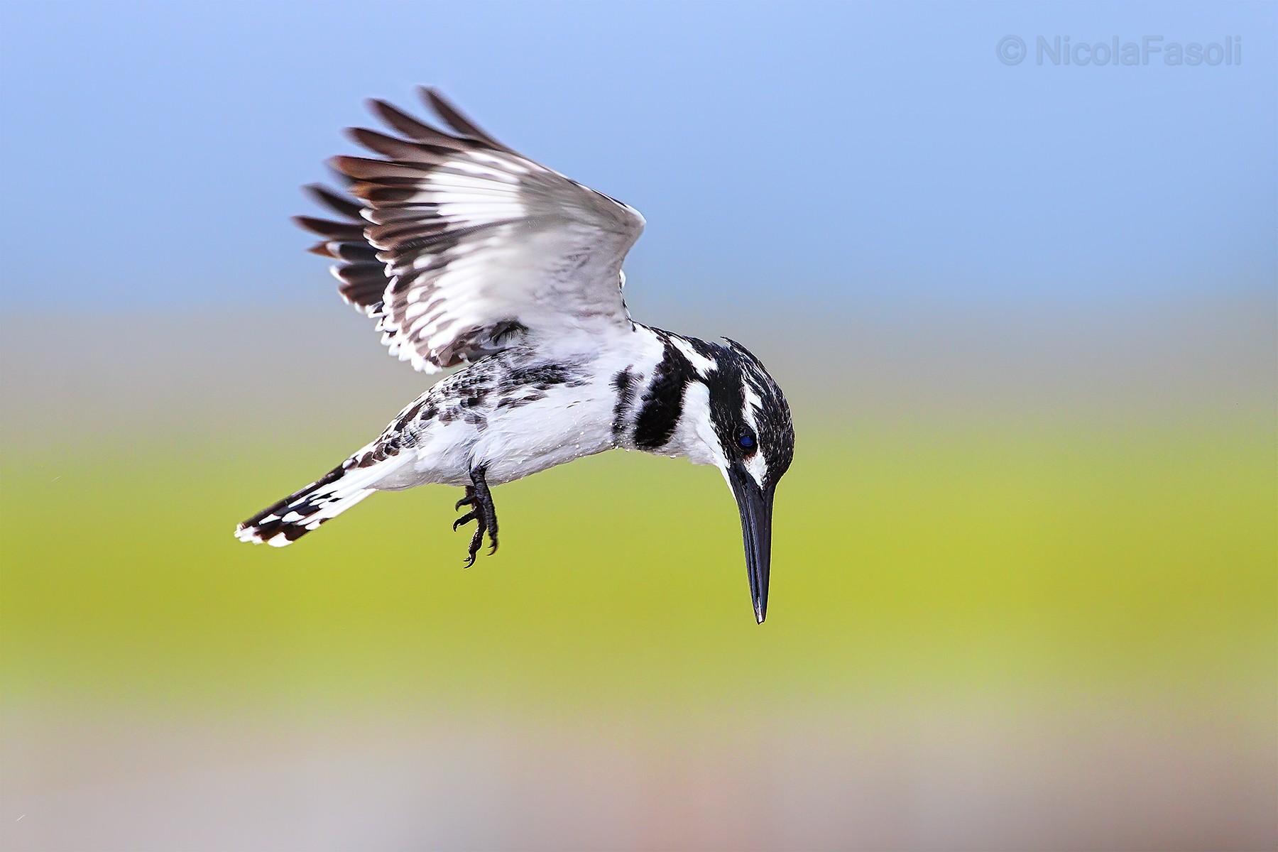 Martin-pescatore bianco e nero ( Pied Kingfisher )...