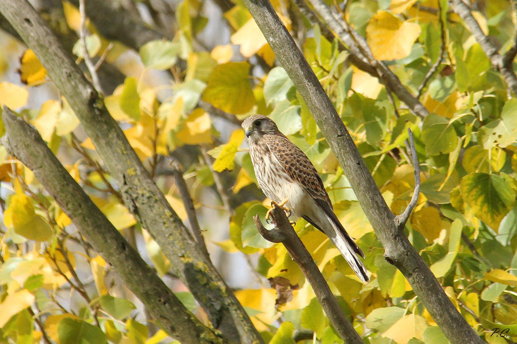autumn kestrel...