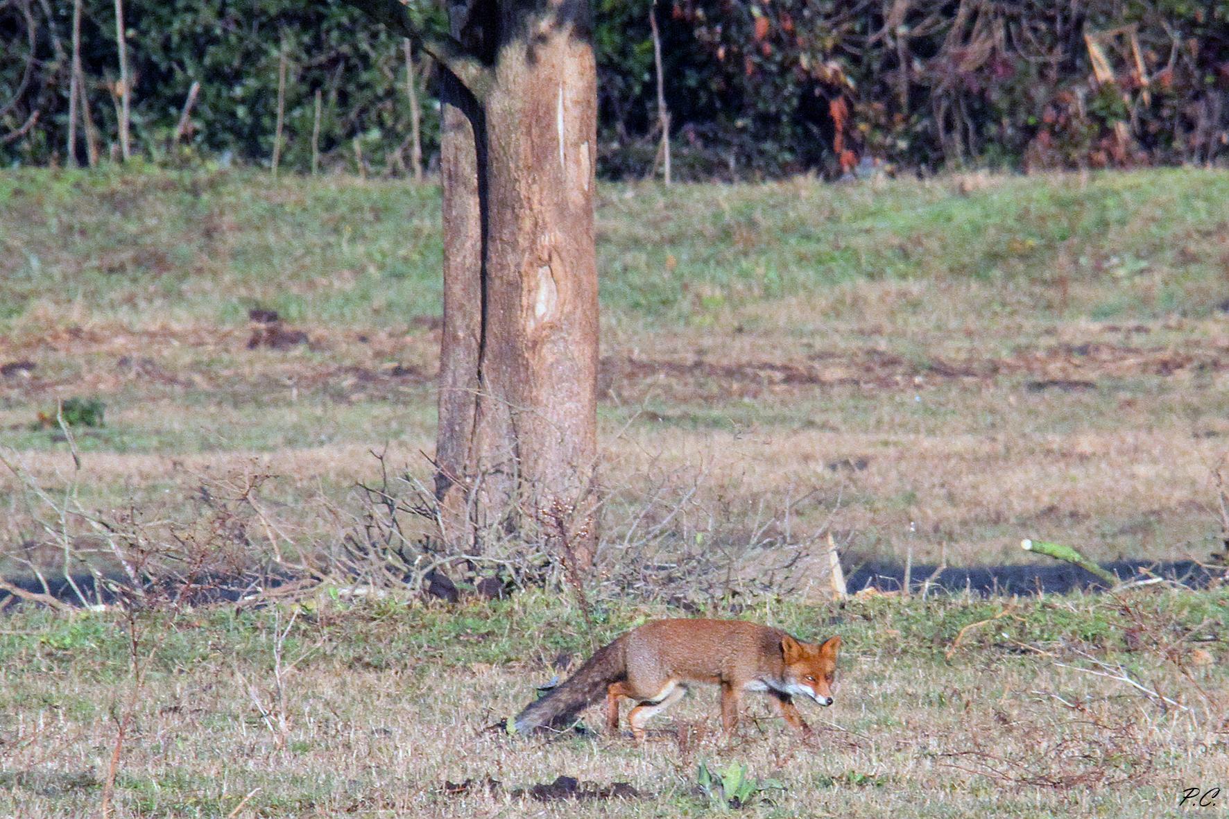 fox quatta...