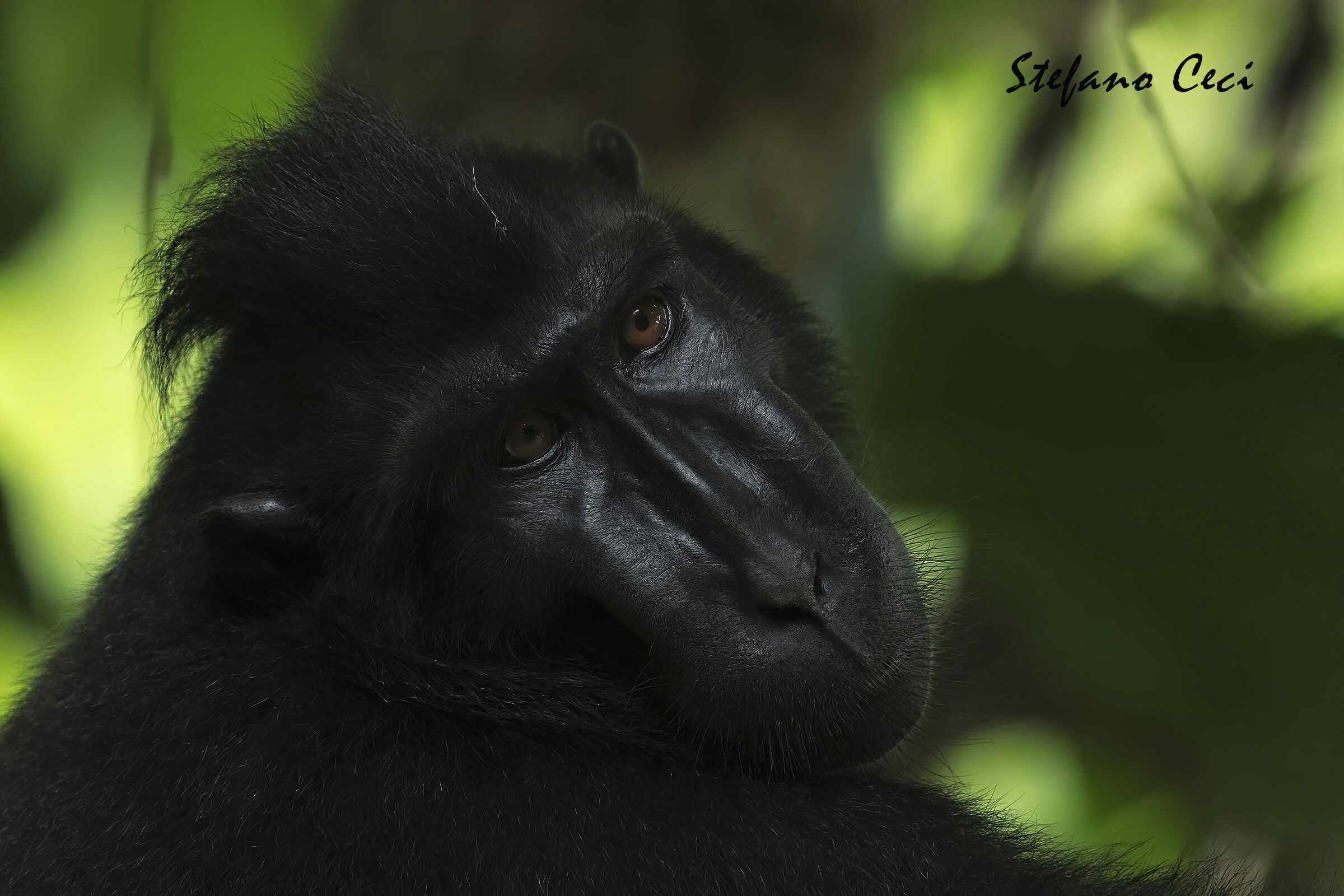 Crested Macaque...
