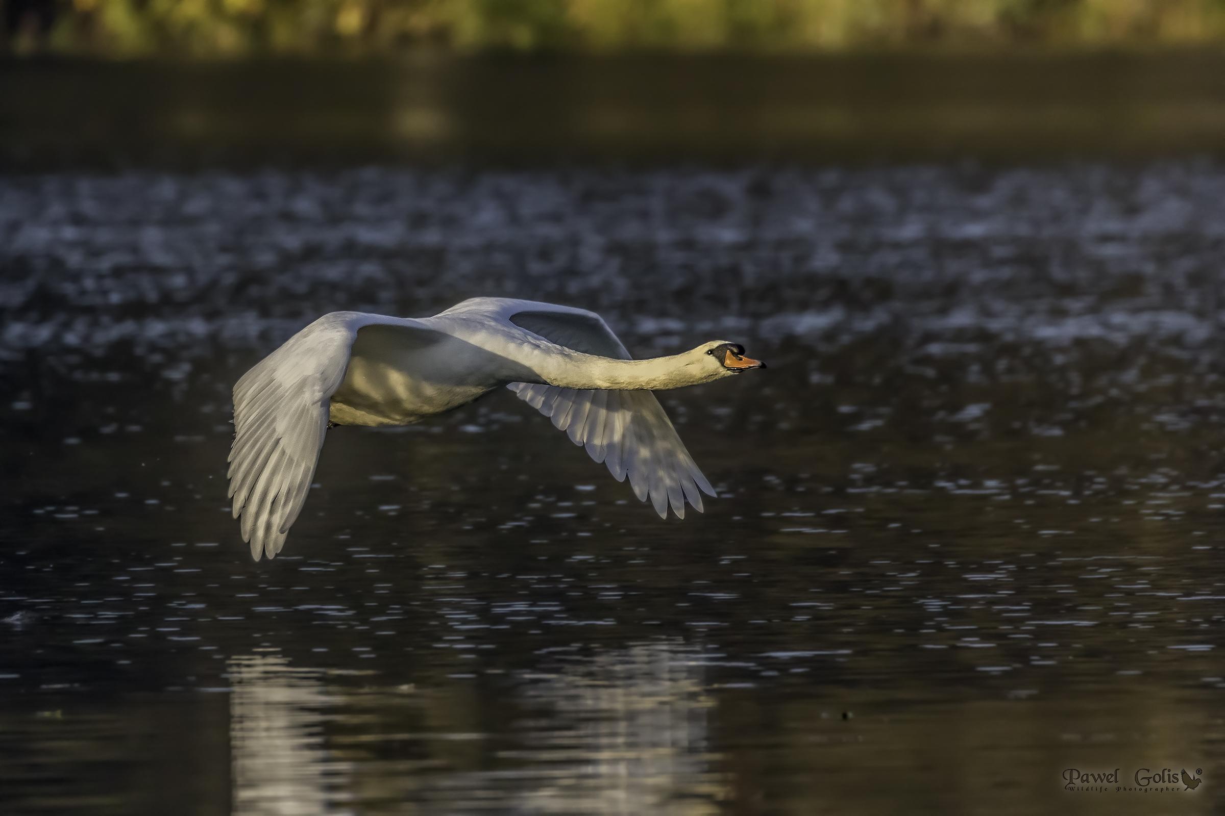 Mute swans (Cygnus olor)...