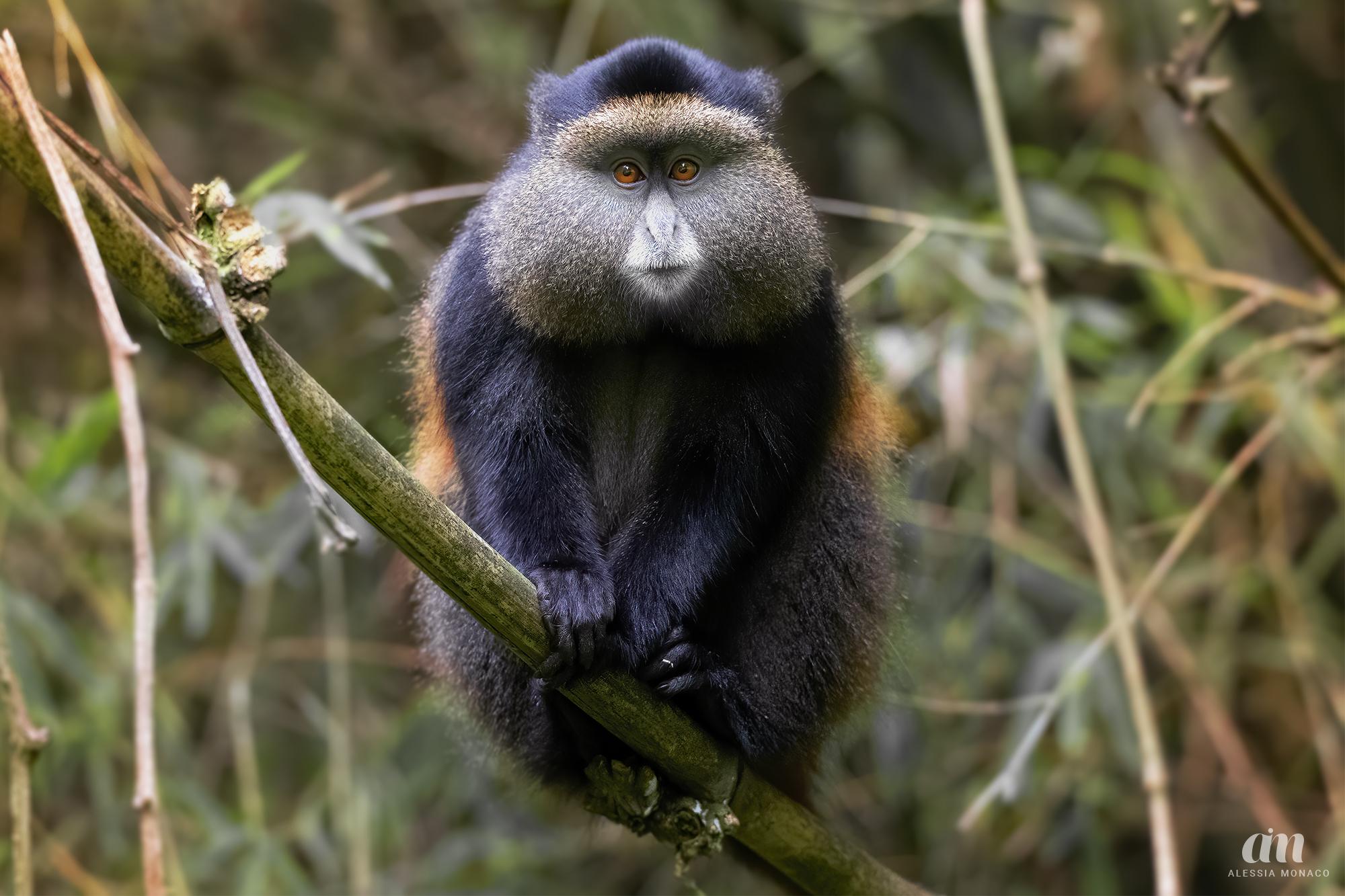 Golden Monkey, A ...