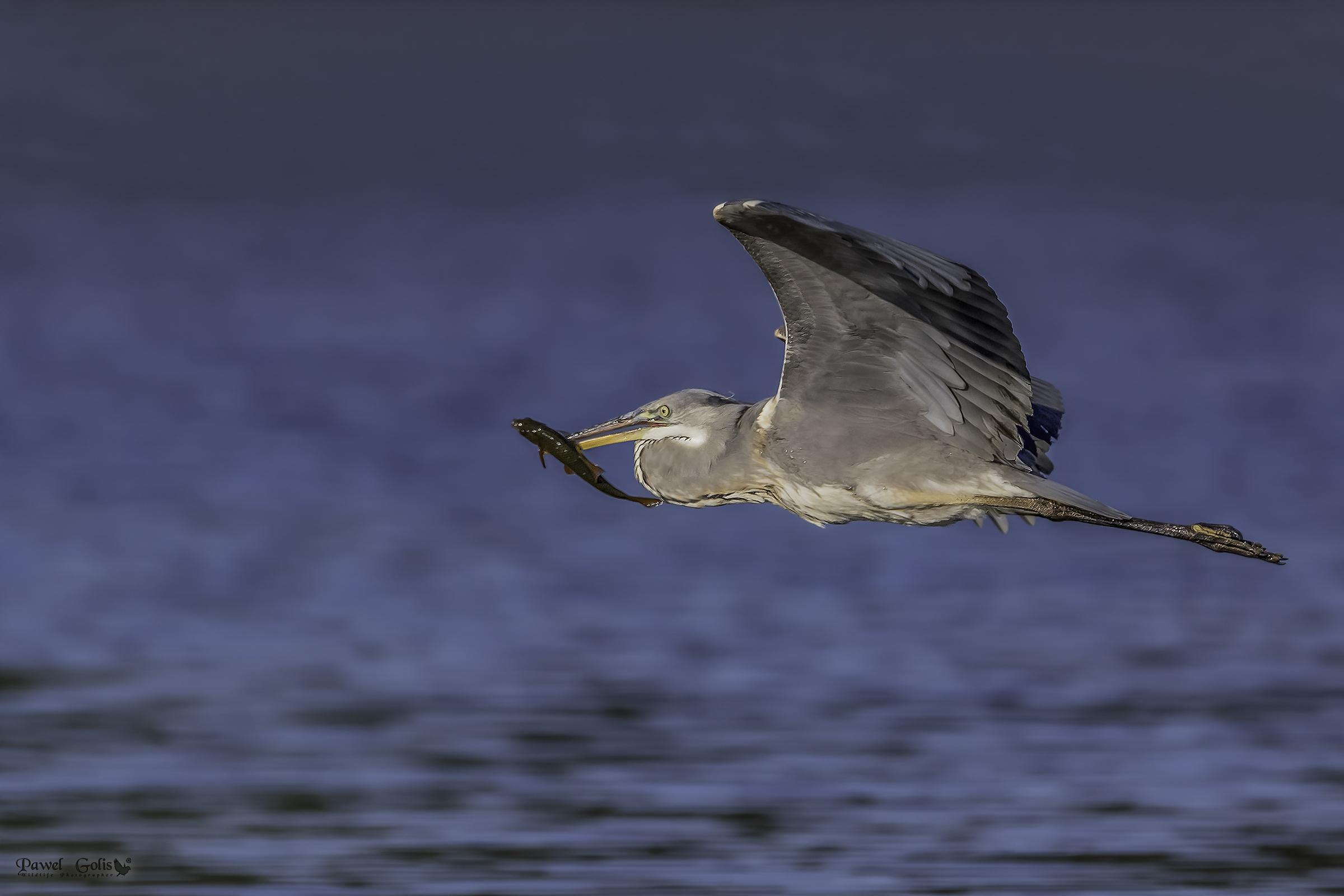 Grey heron (Ardea cinerea) with prey v2...