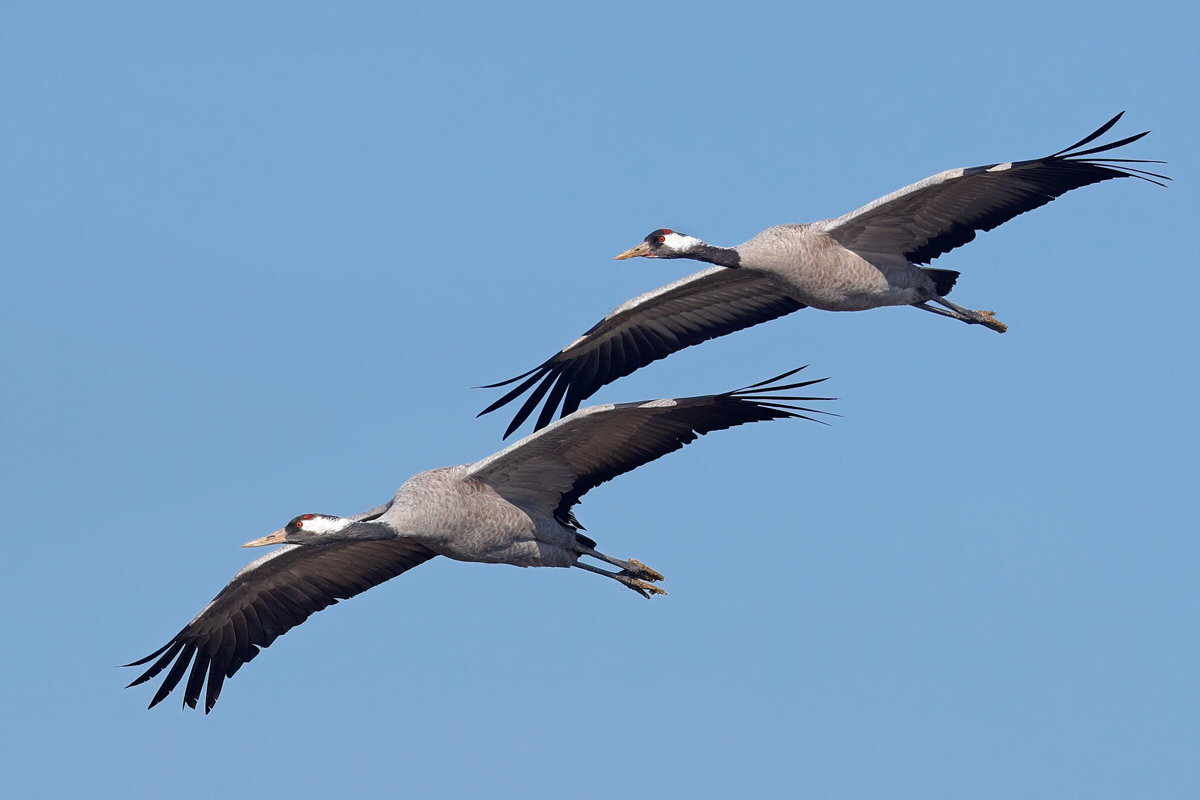 Ash cranes...