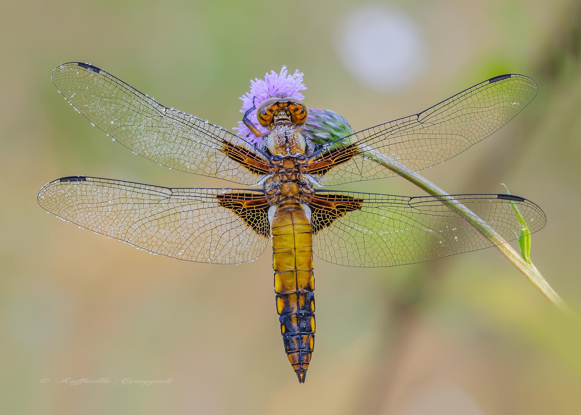 Depressed dragonfly...