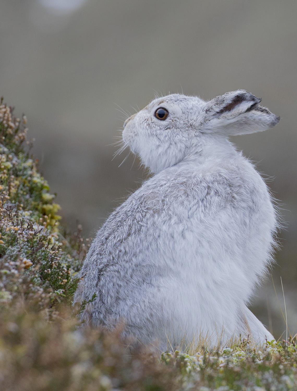 vertical white hare...