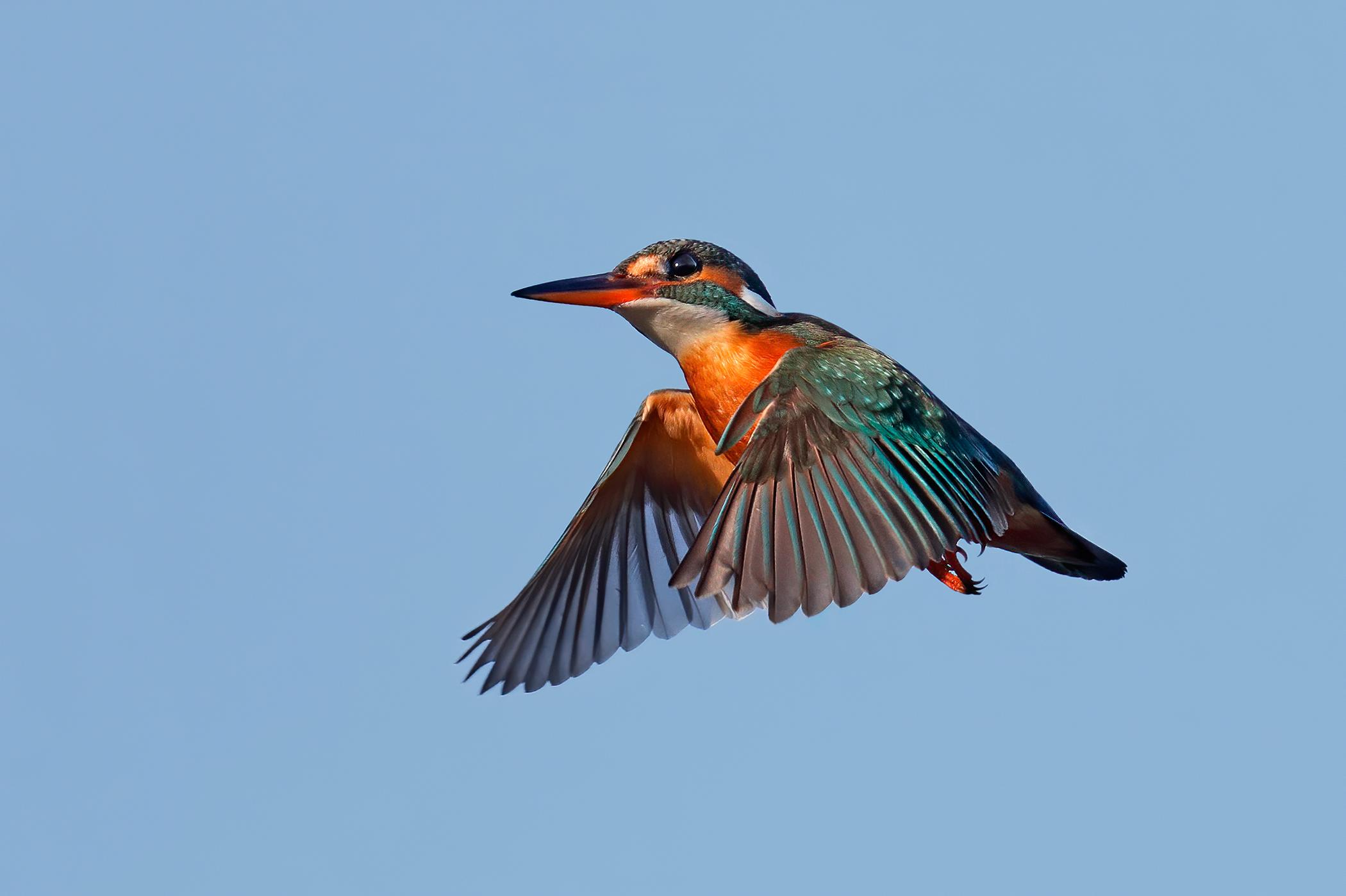 Kingfisher ...