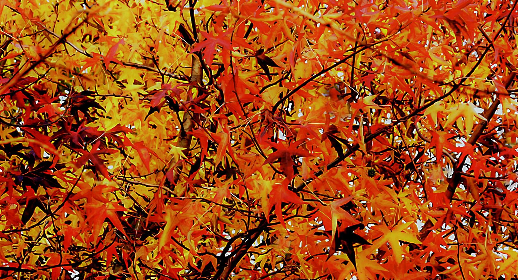 Autumn maple...