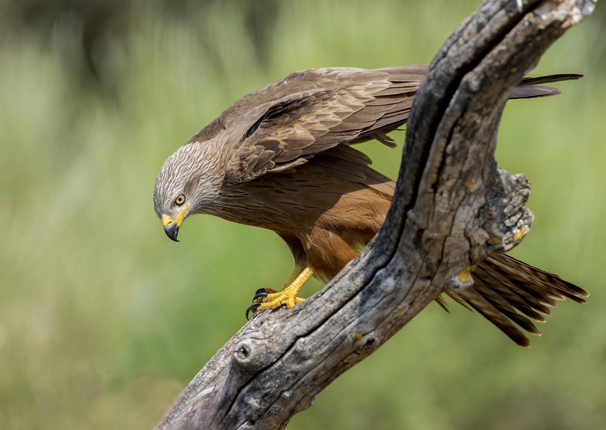 brown kite...