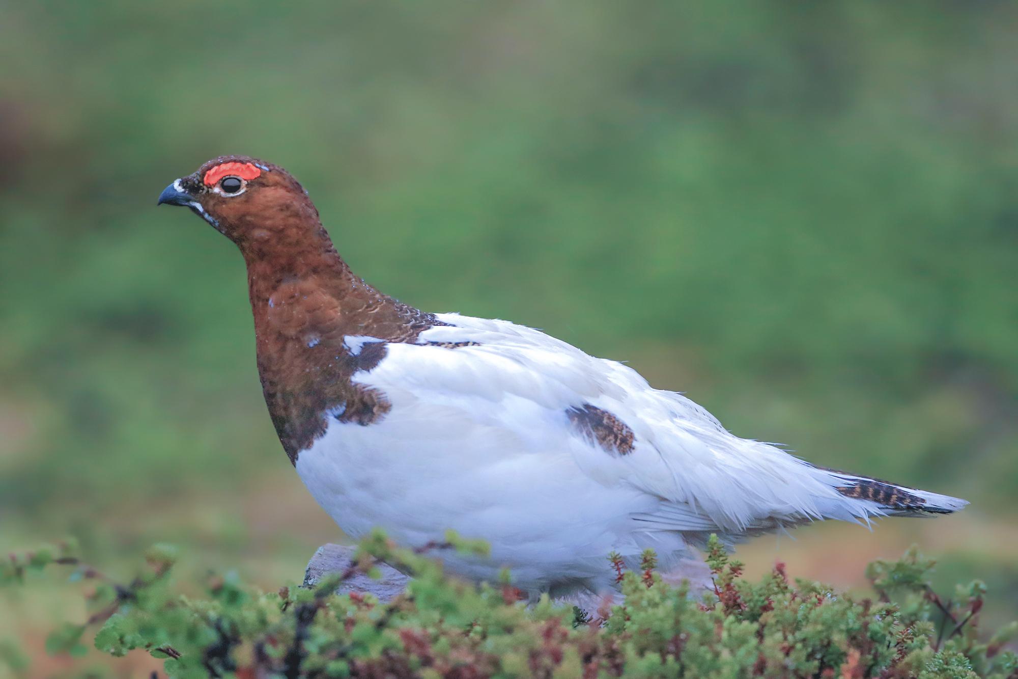 Arctic partridge...