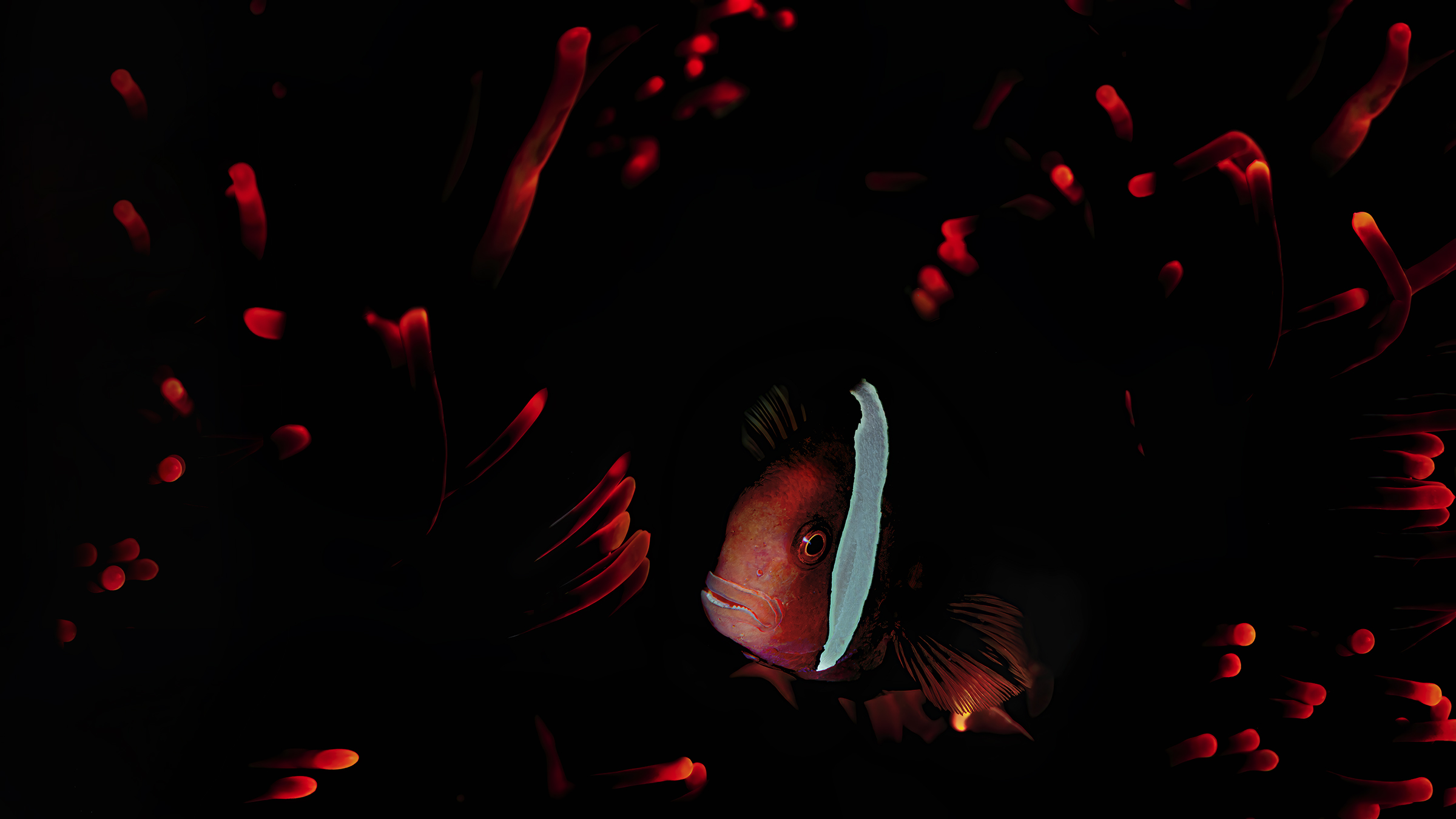 clownfish in red anemone  ...
