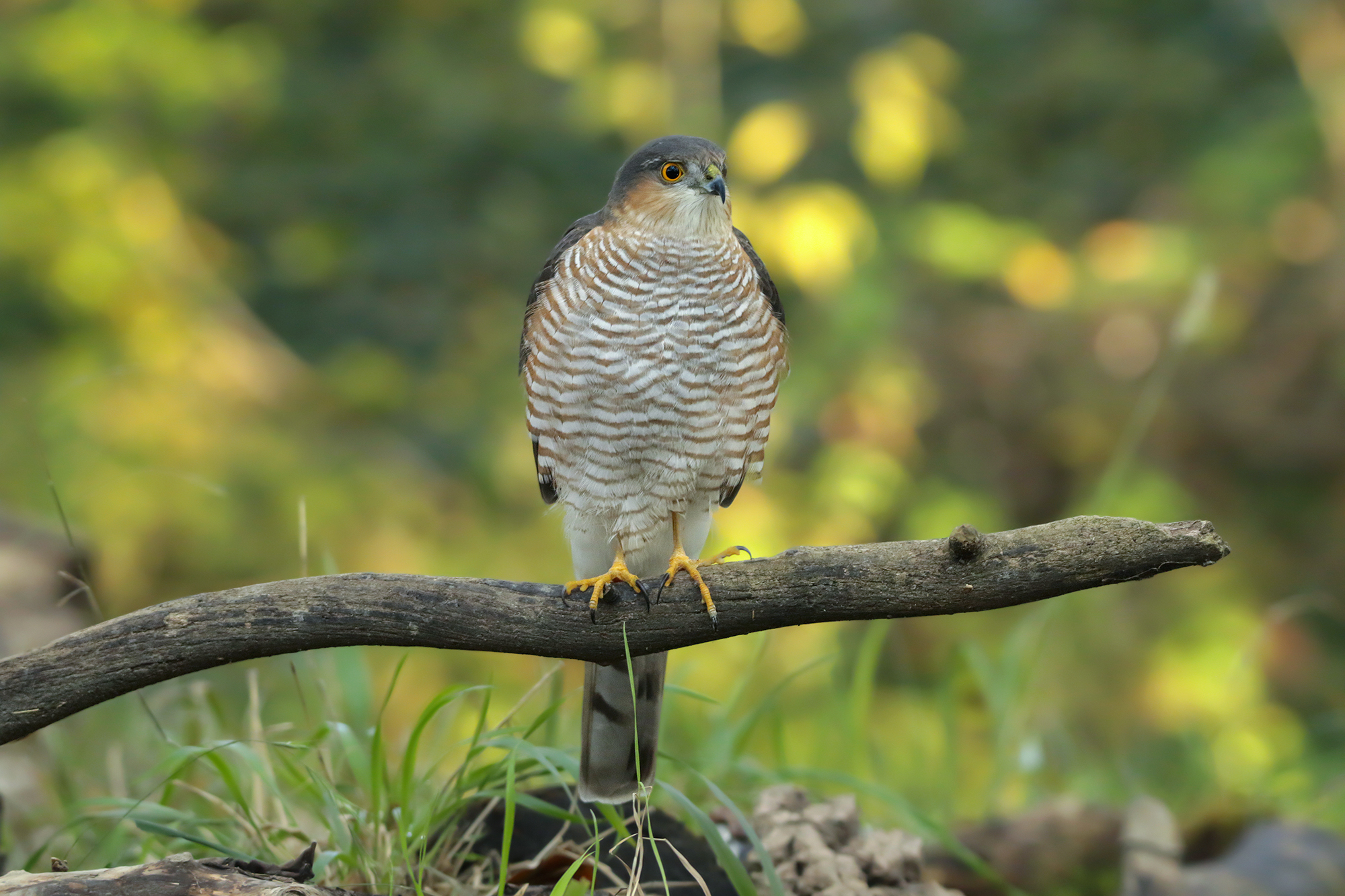sparrowhawk on perch...