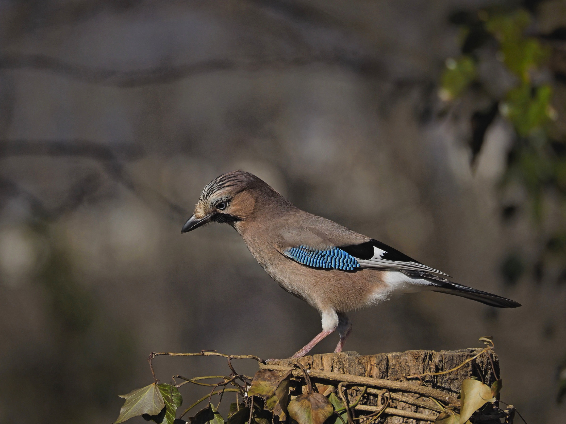 The blue feathers of the jay...