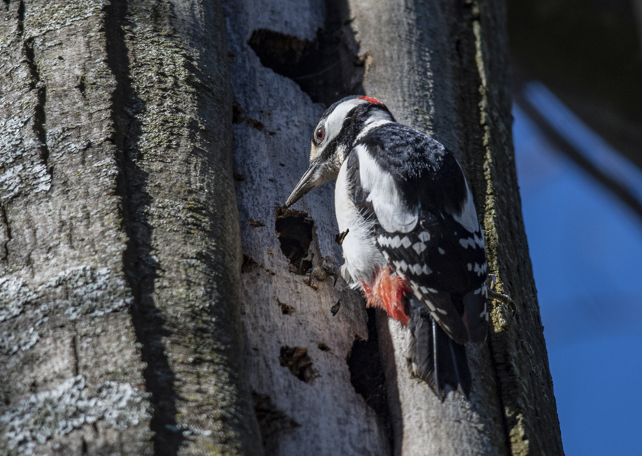 great spotted woodpecker at work...