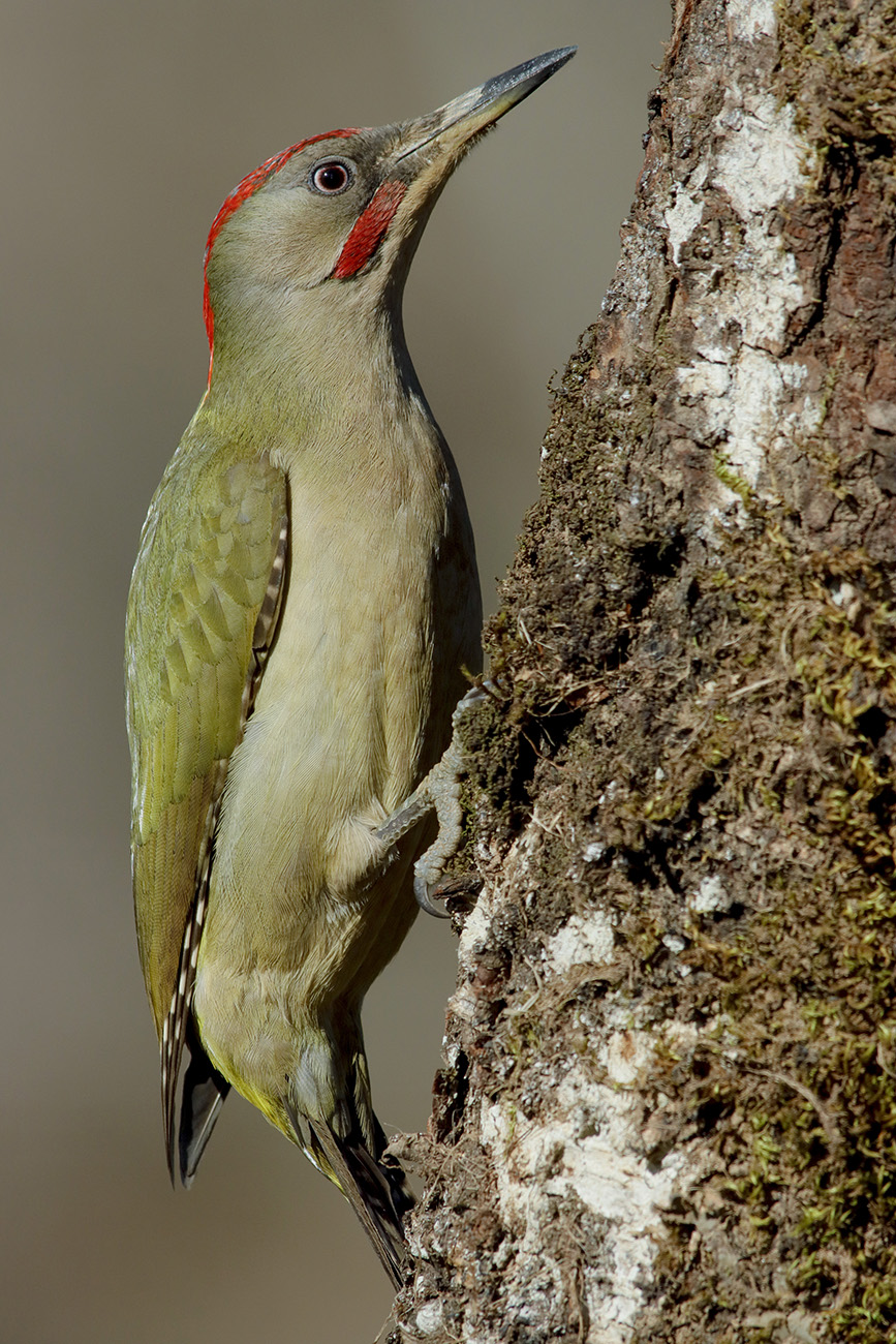 sharpei green woodpecker...