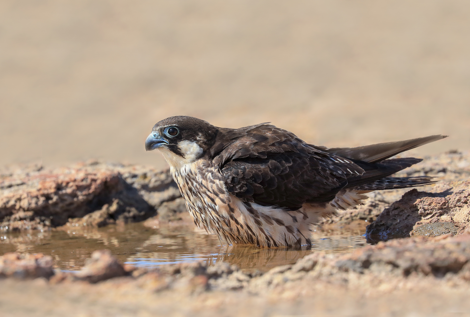 Watered Queen's Falcon...
