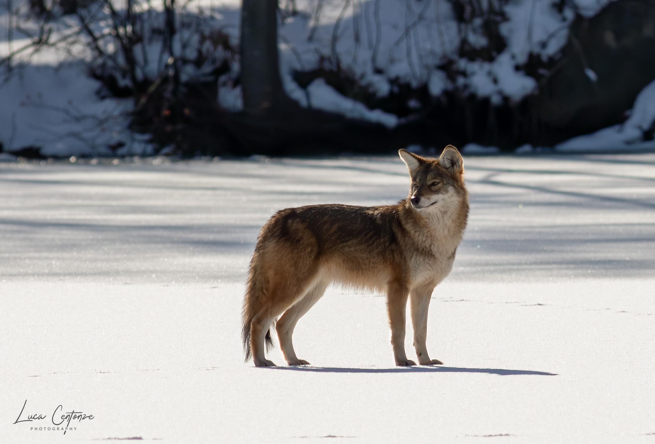 Coyote ...