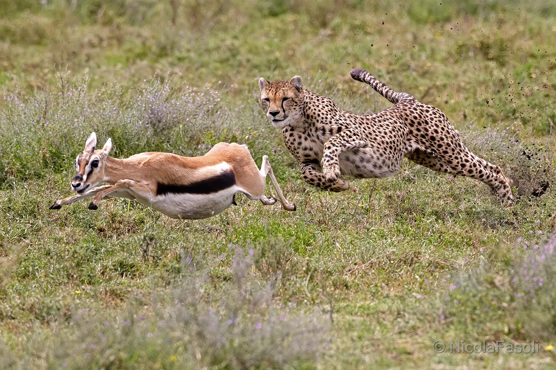 Cheetah Hunting...