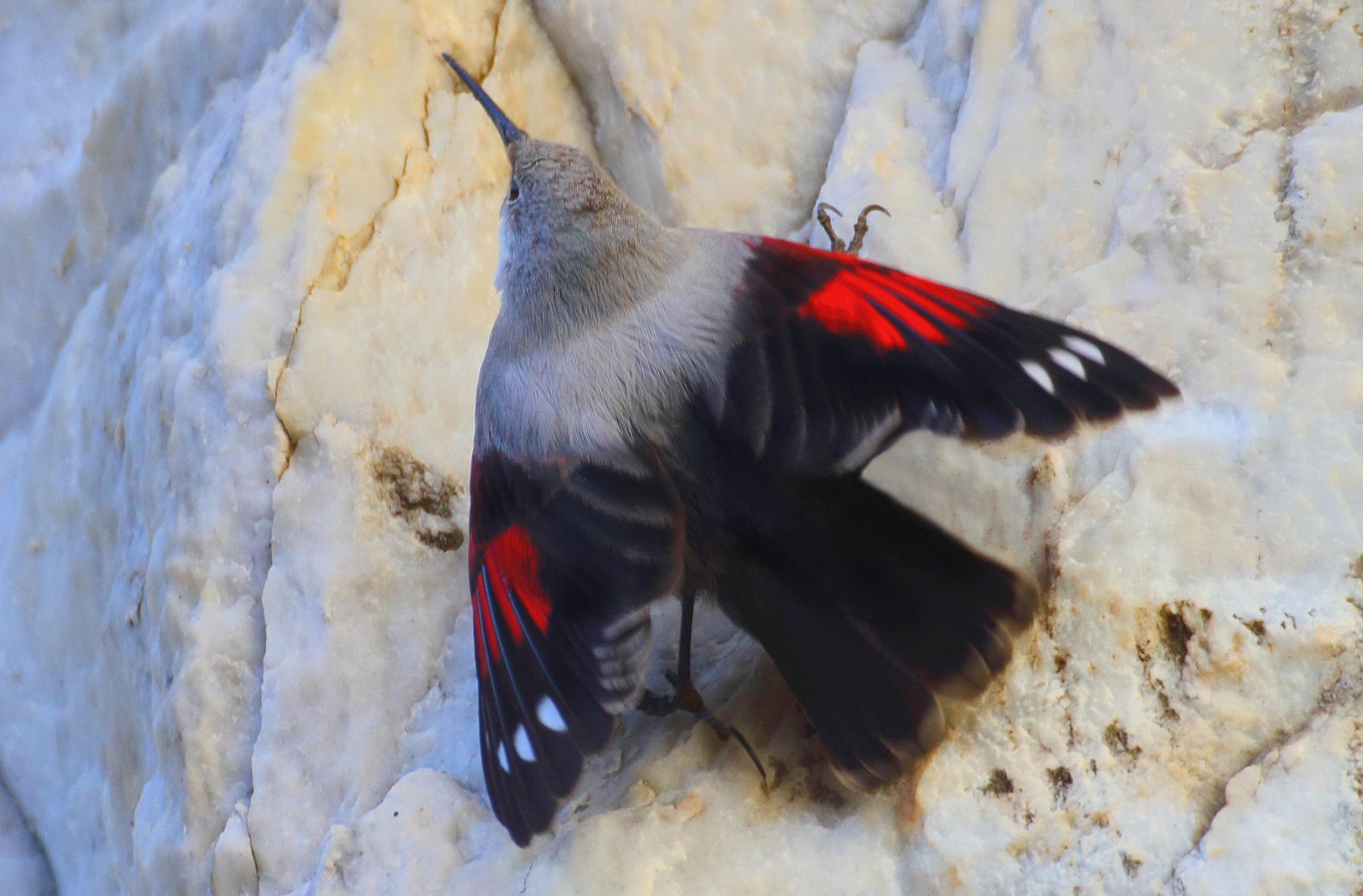 on the marble white woodpecker mason...