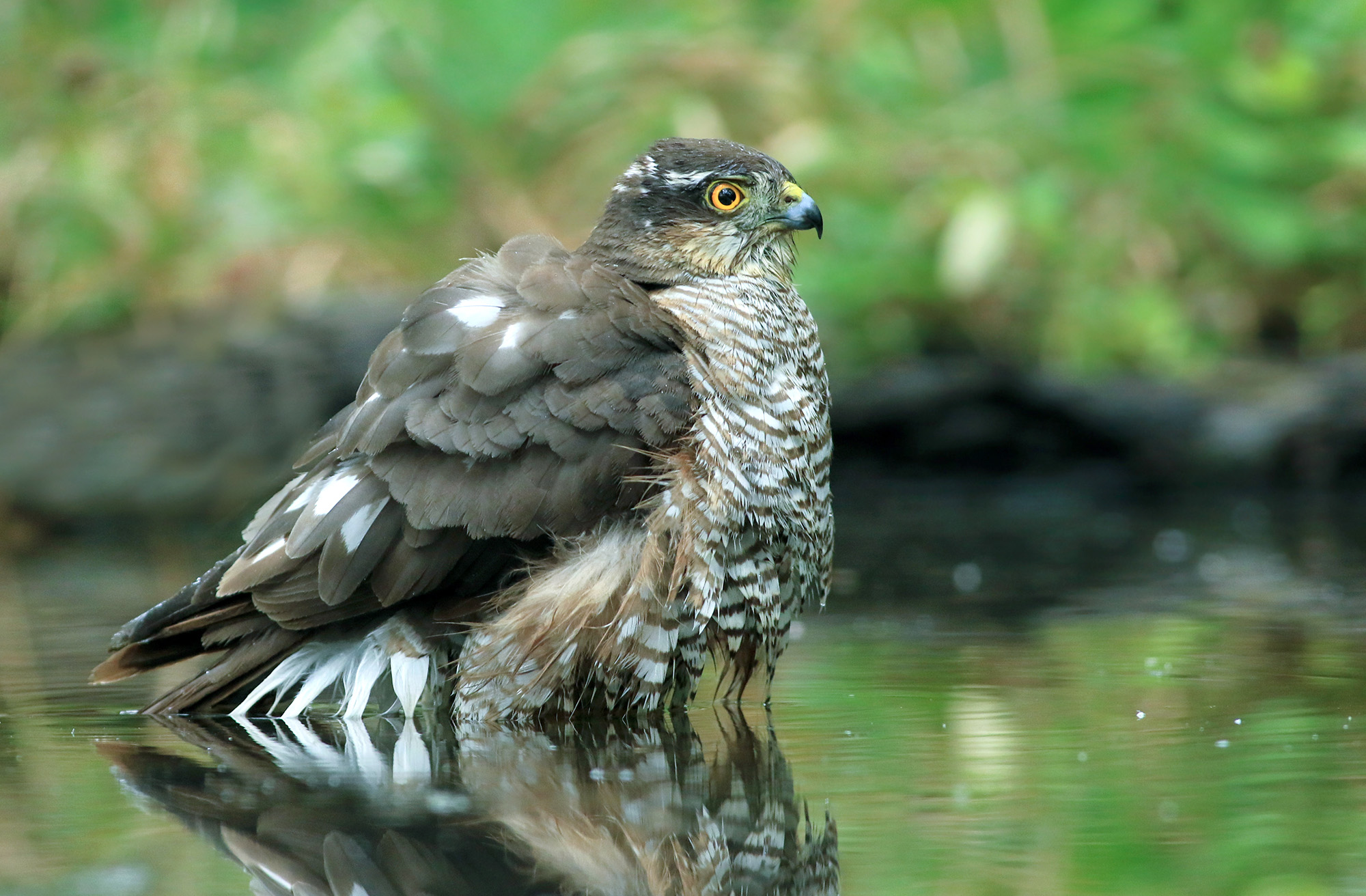 sparrowhawk from wet feathers...
