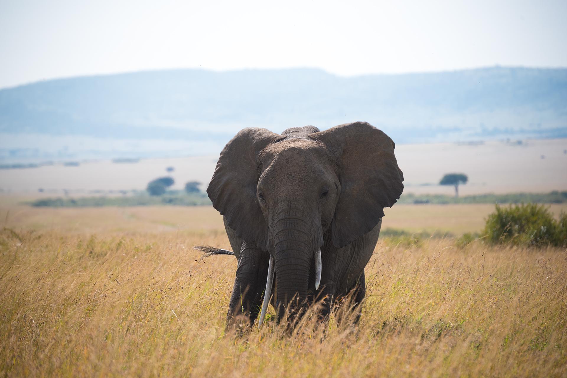 Portrait of an Elephant...