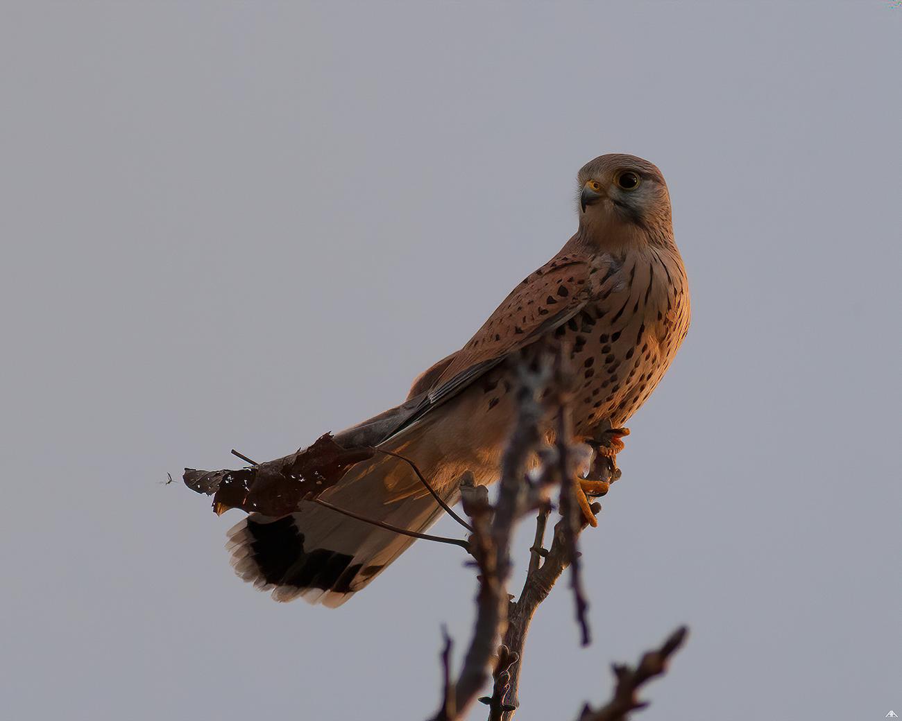 Falco tinnunculus...