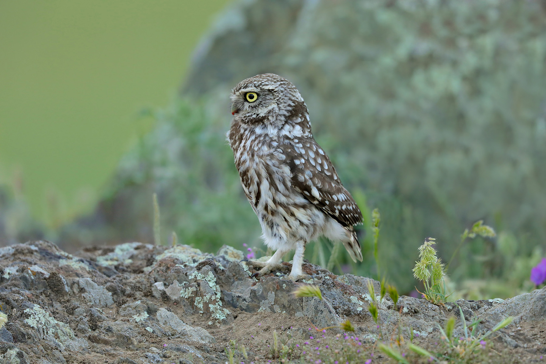 owl between rocks and lichens...