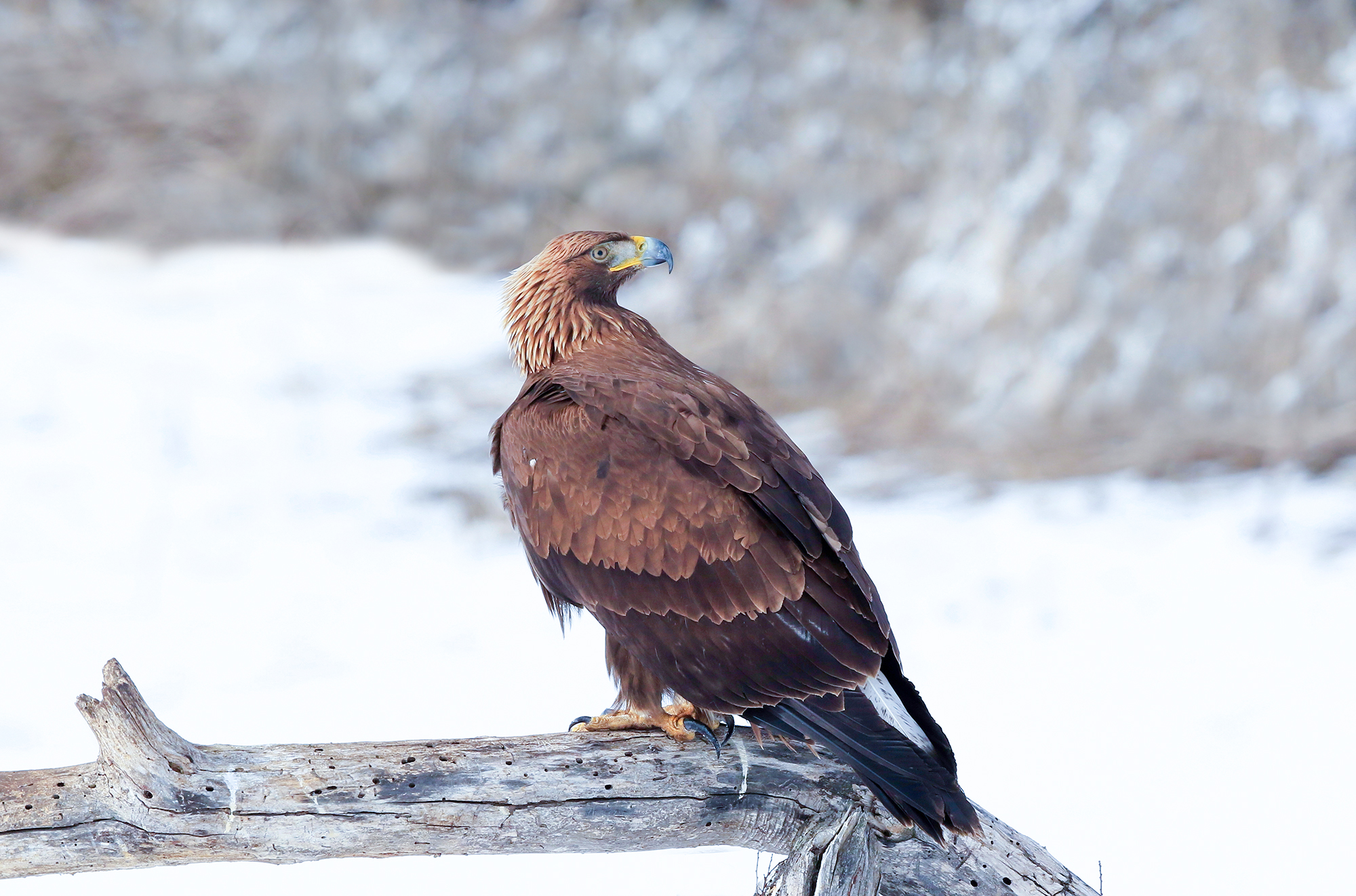 Golden eagle on natural perch...