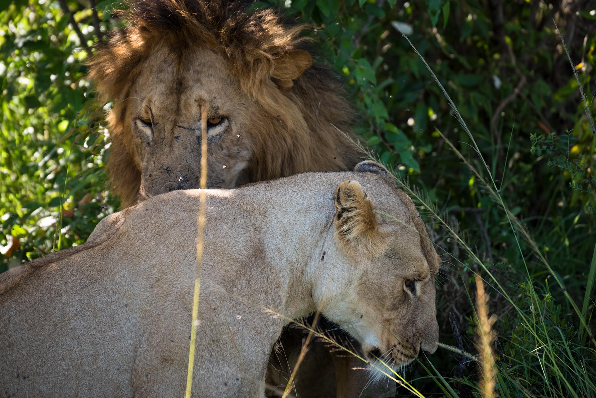 .. Like Lovers Do - Masai Mara...