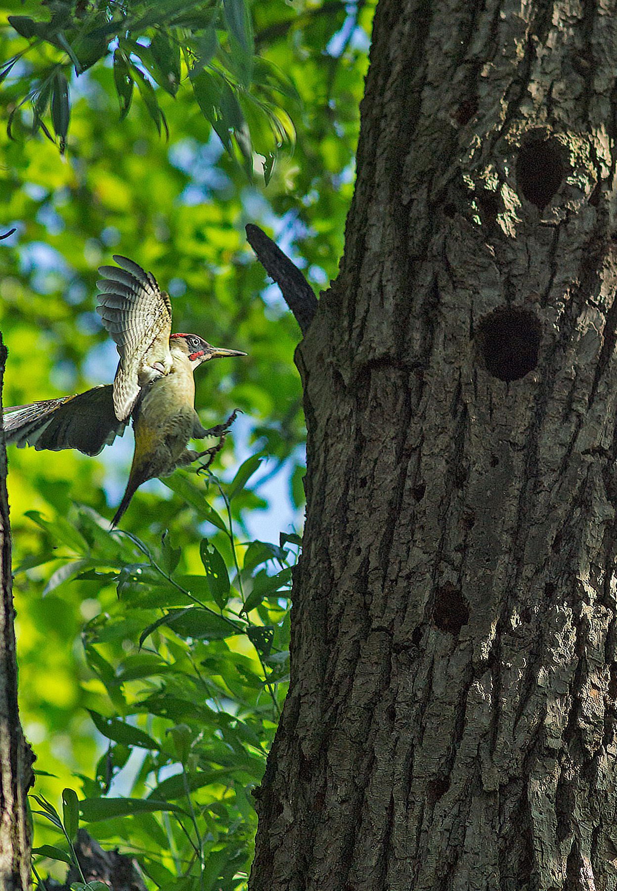 Green woodpecker back to the nest...