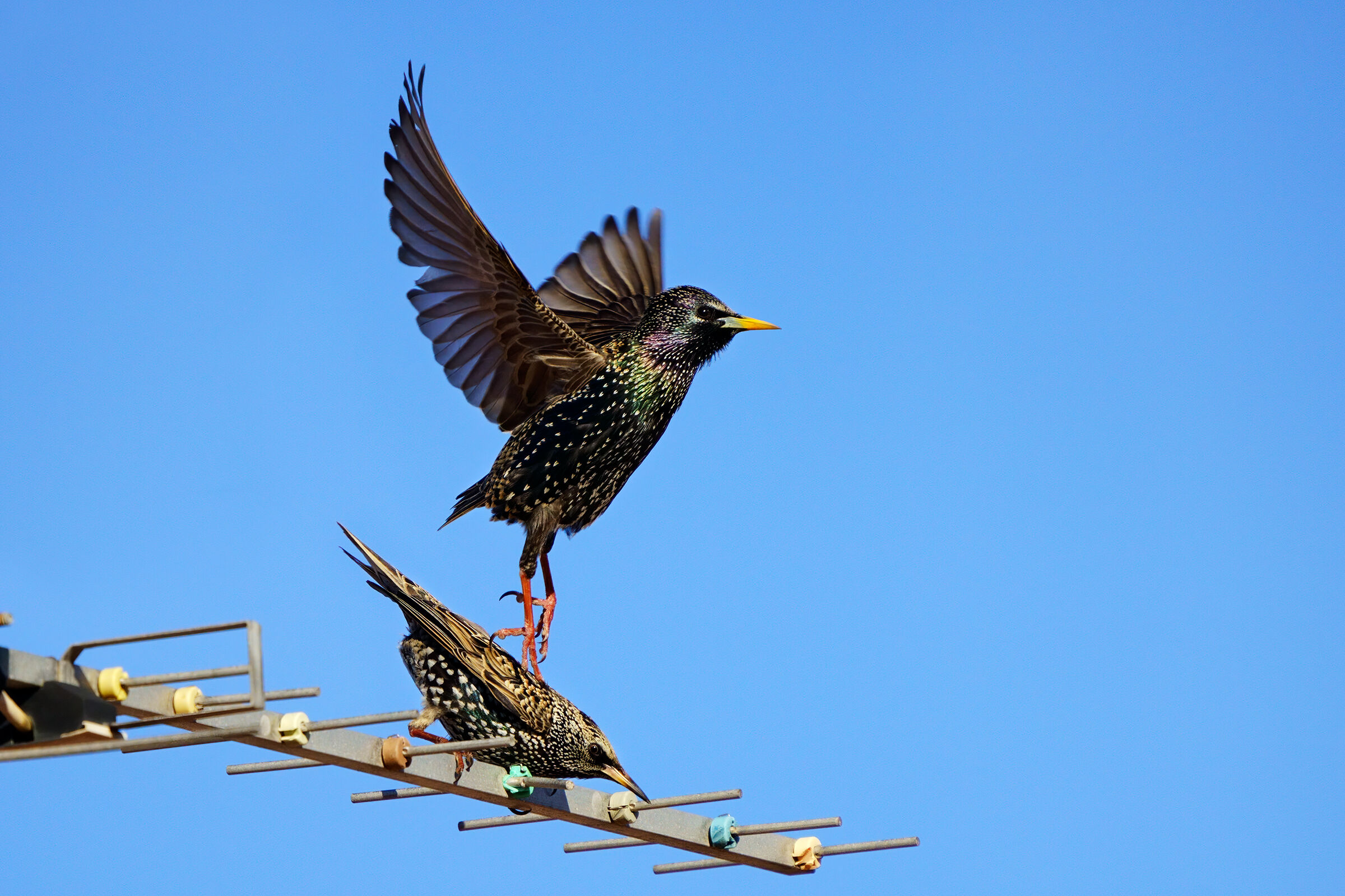 After Love - Couple of starlings ...
