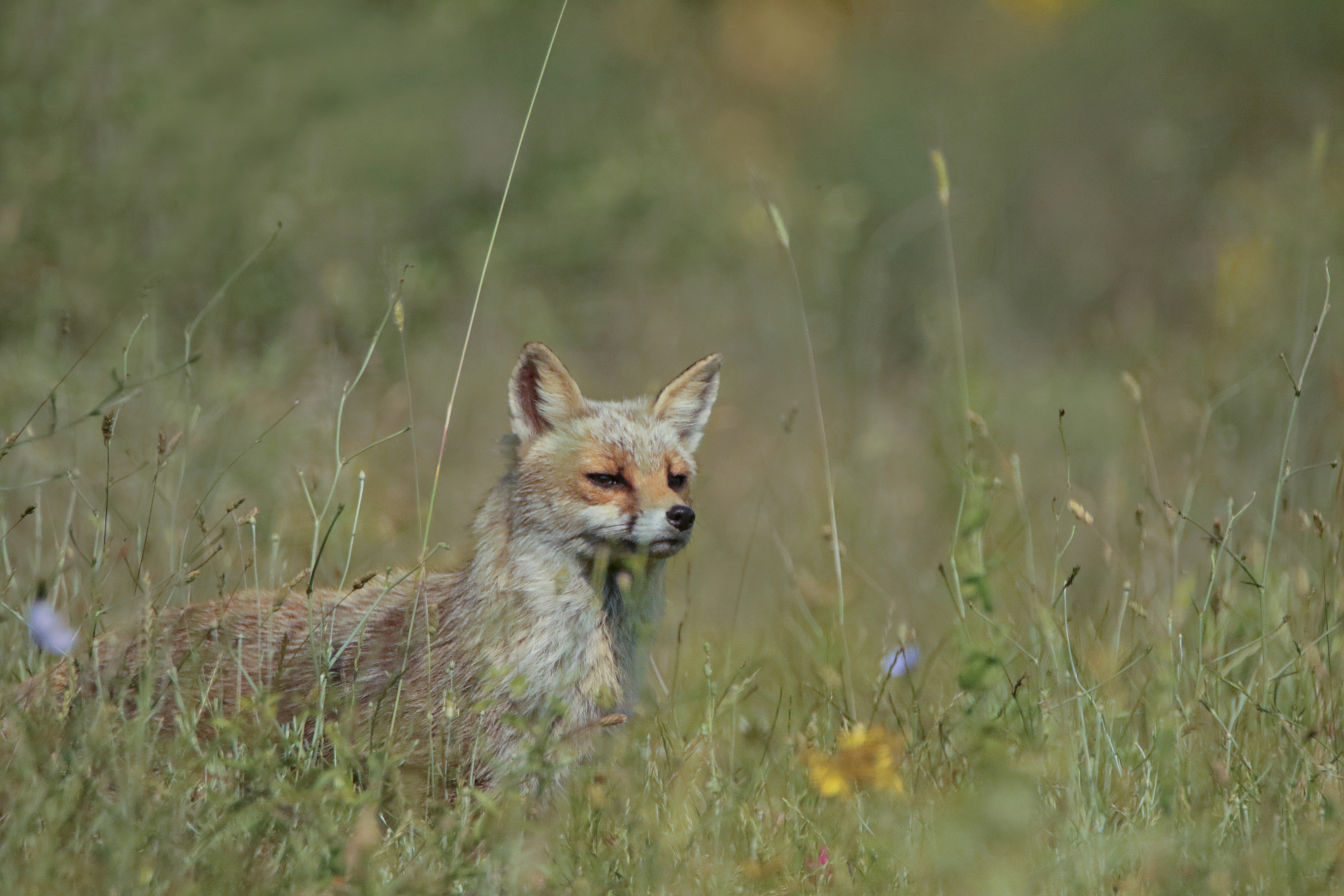 fox in the tall grass...