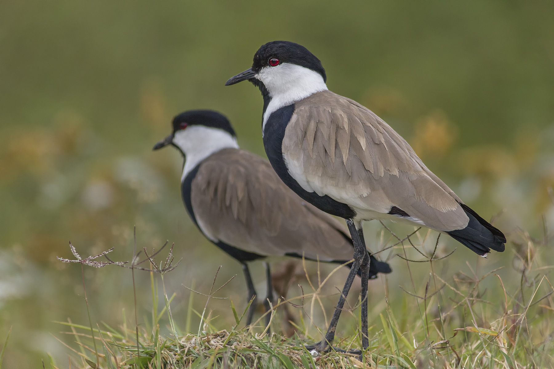Spur-winged lapwing...