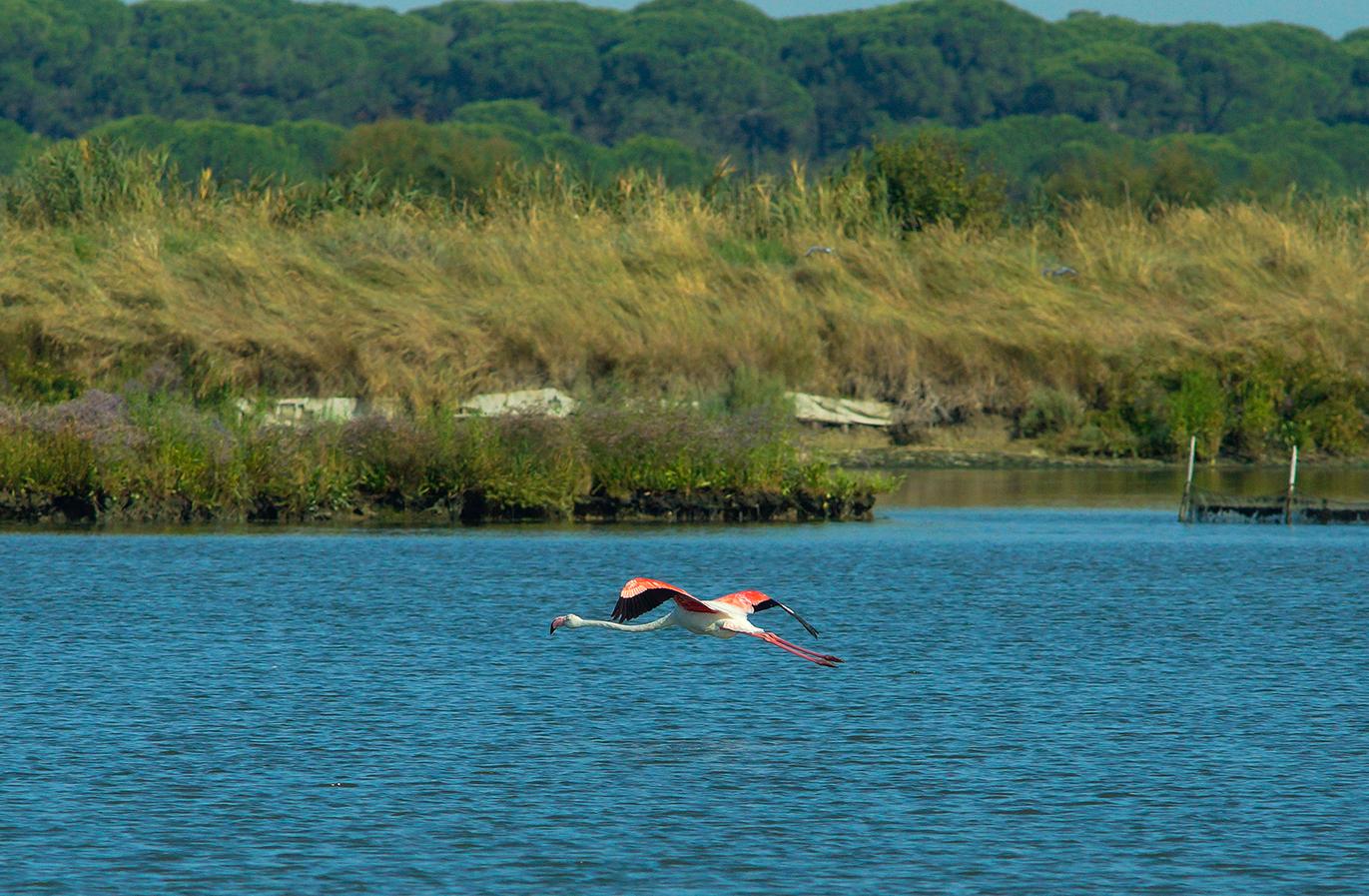 flamingo flying on the bay...