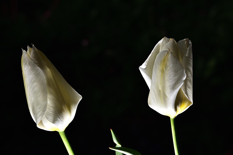 Tulipani in coppia...