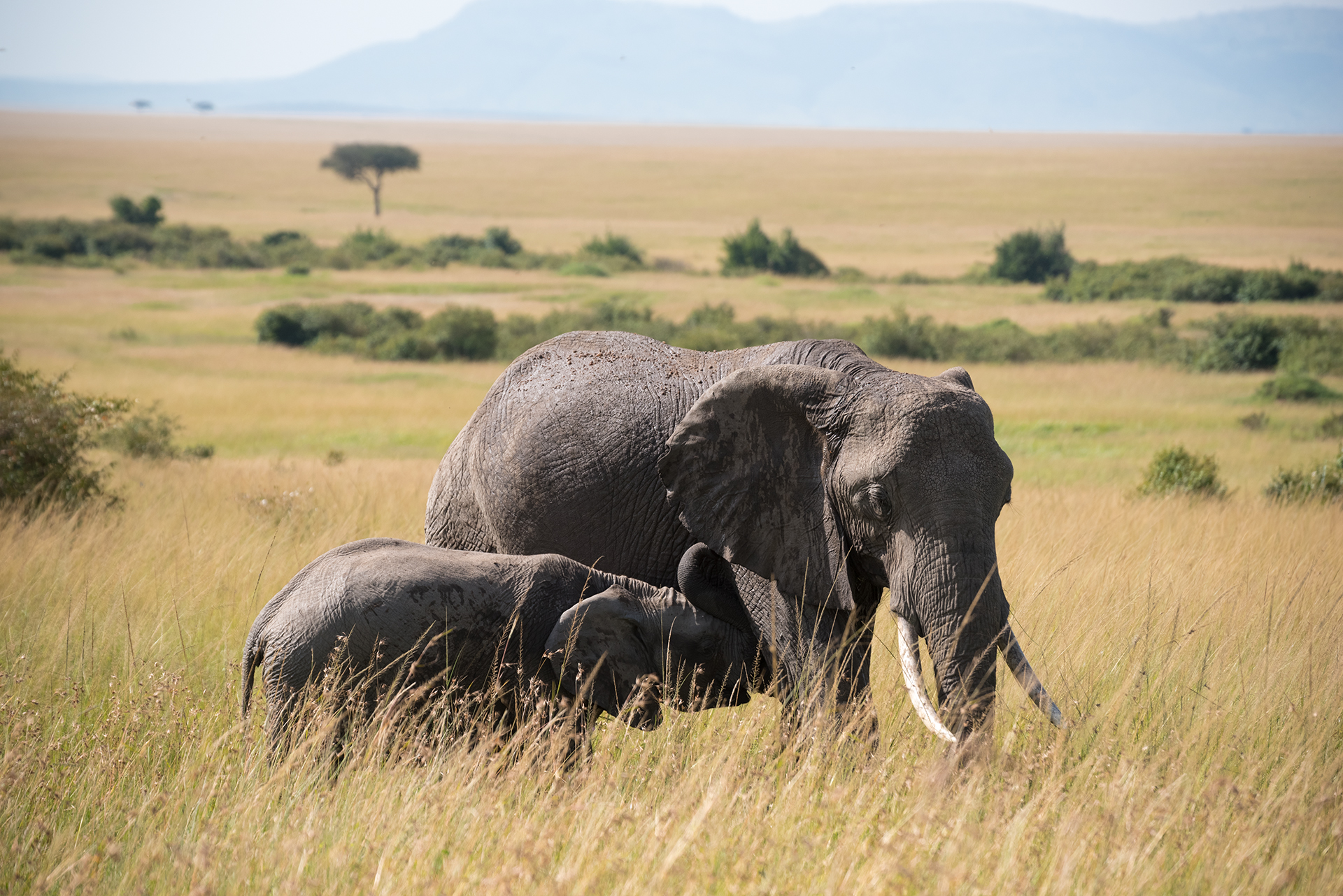 Maternal Bond - Masai Mara...