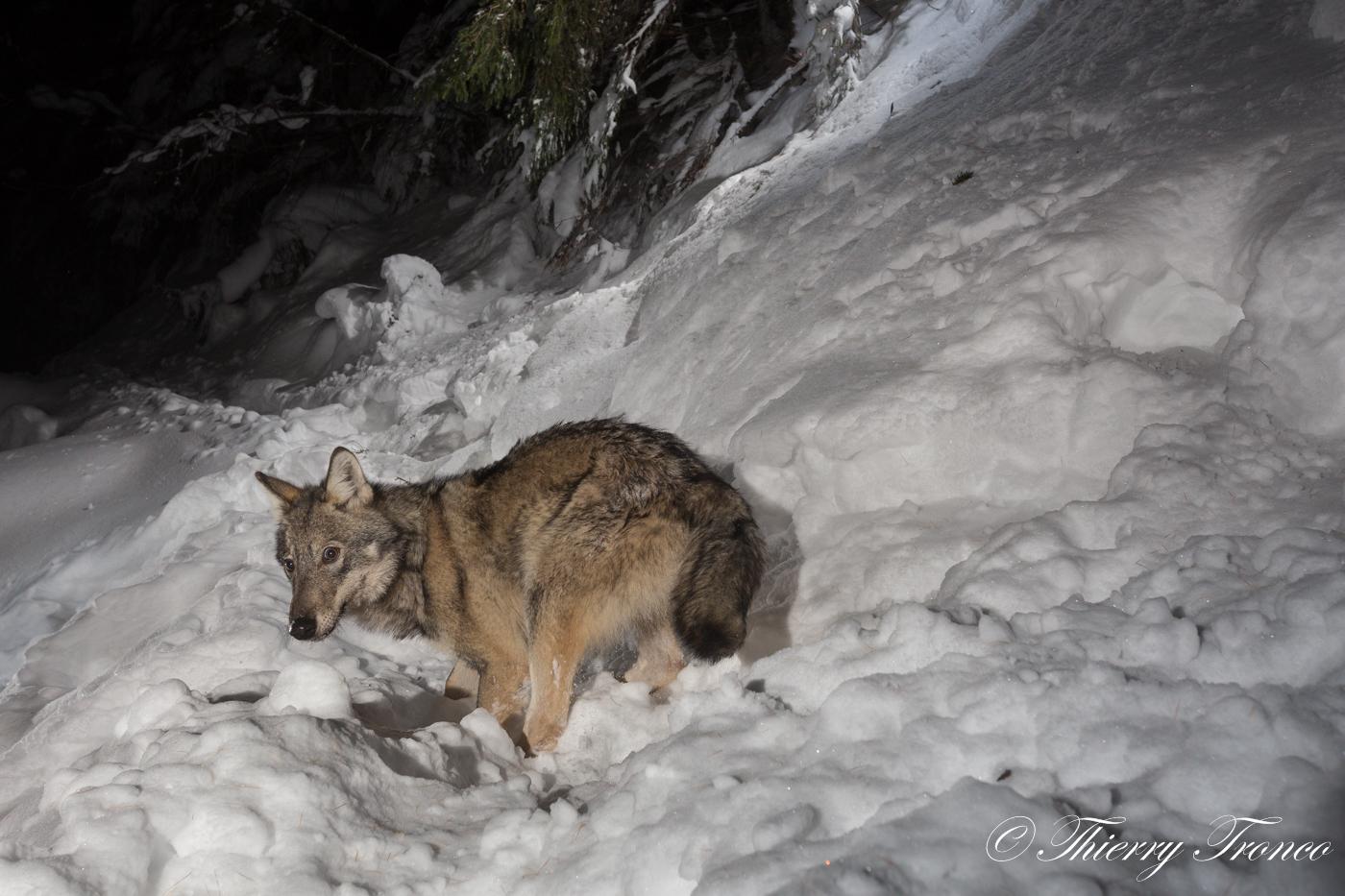 Werewolf.....