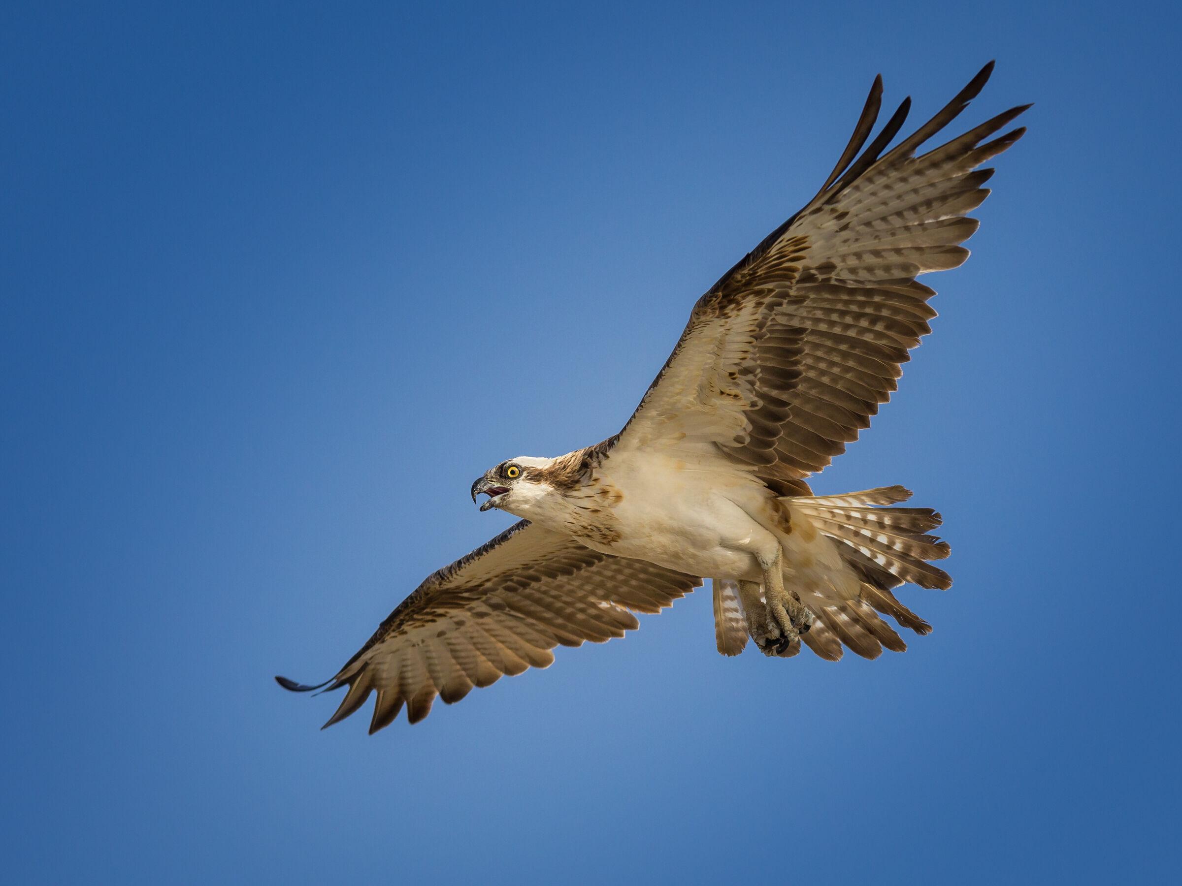 Falco Pescatore...