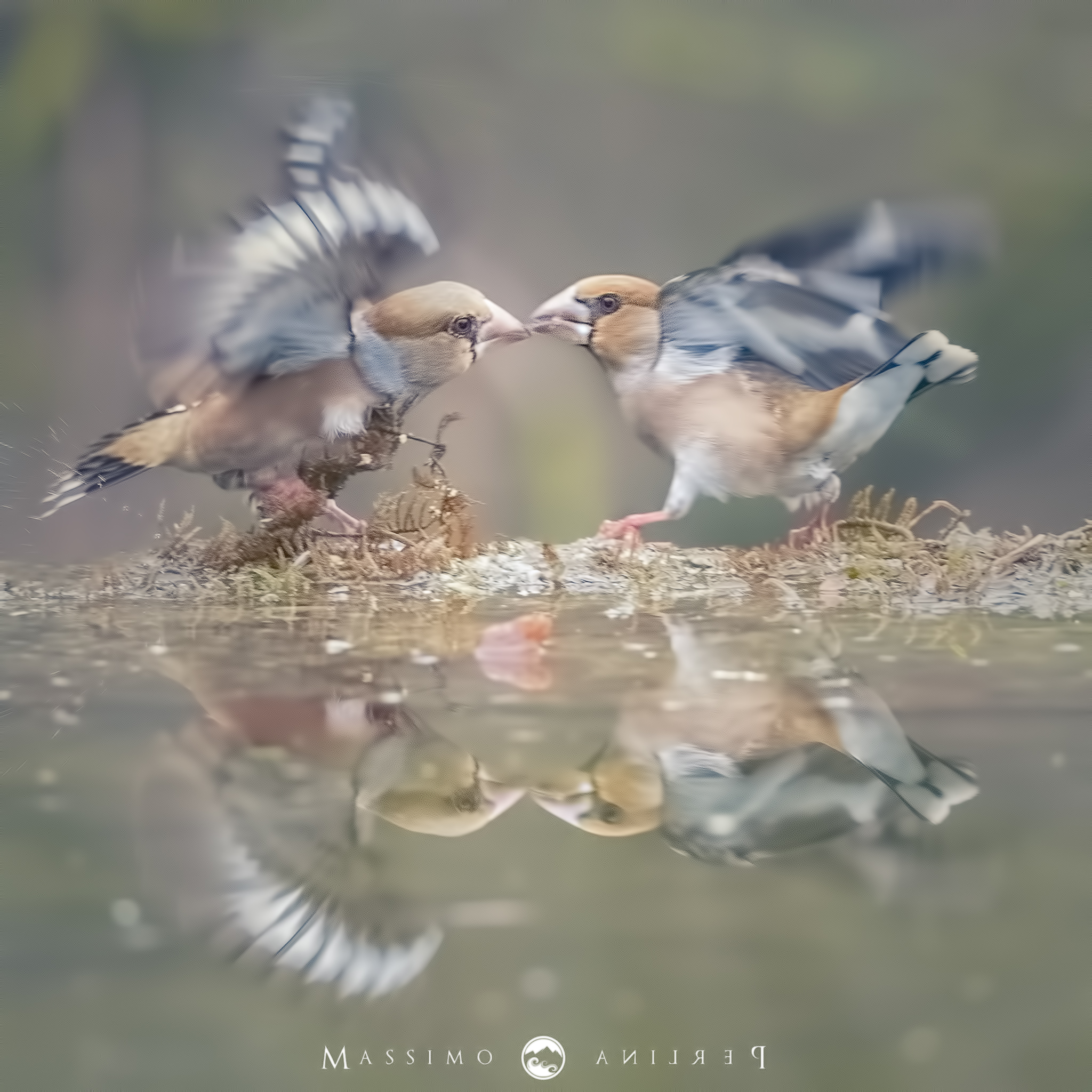Wrangler Hawfinch...