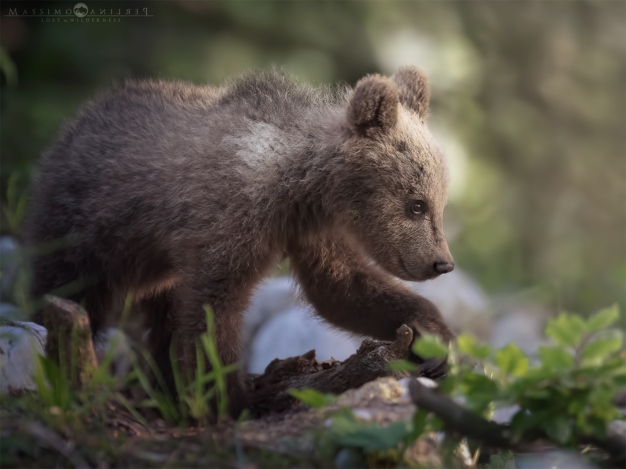 Young Bear, New...