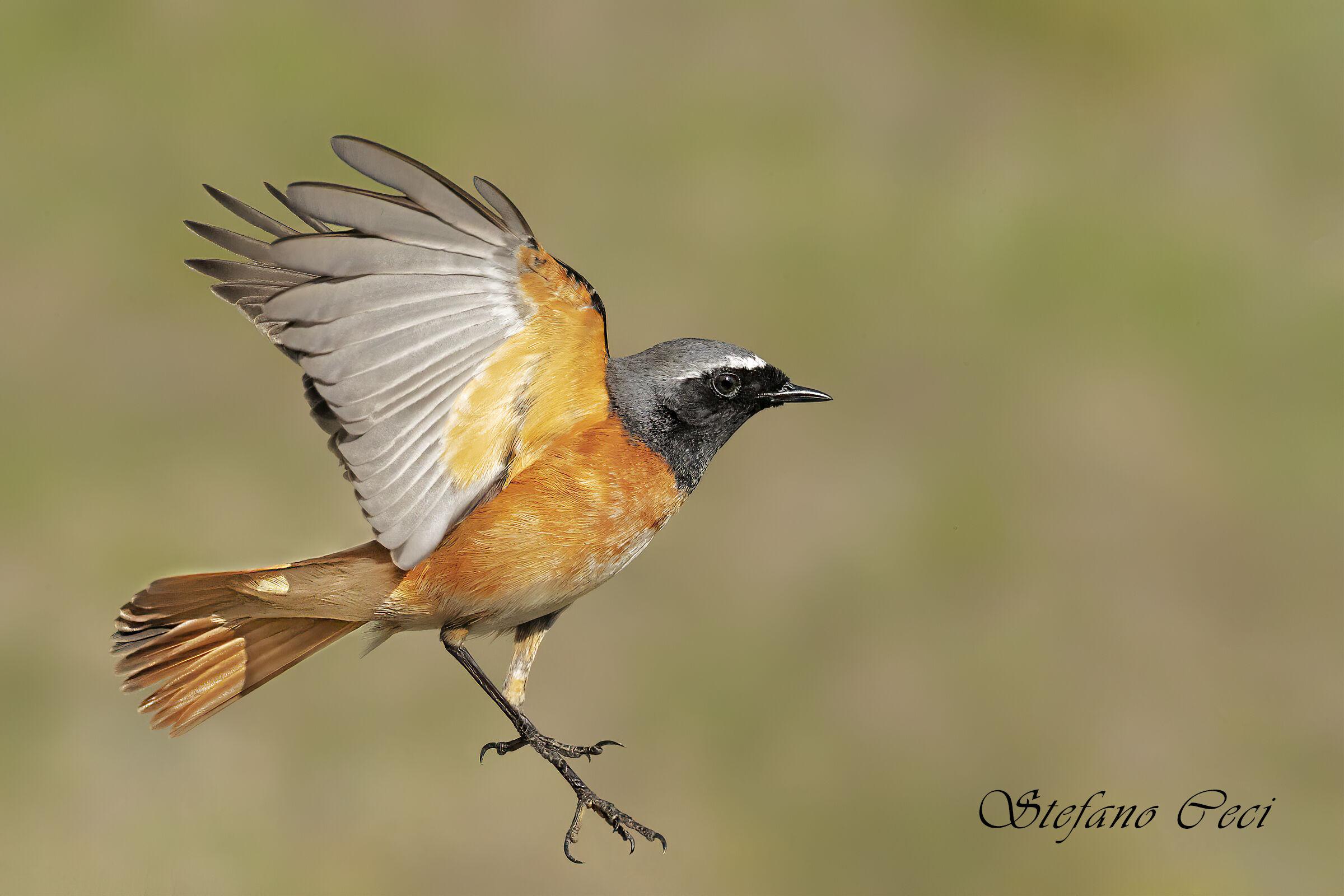 Codirosso in flight...