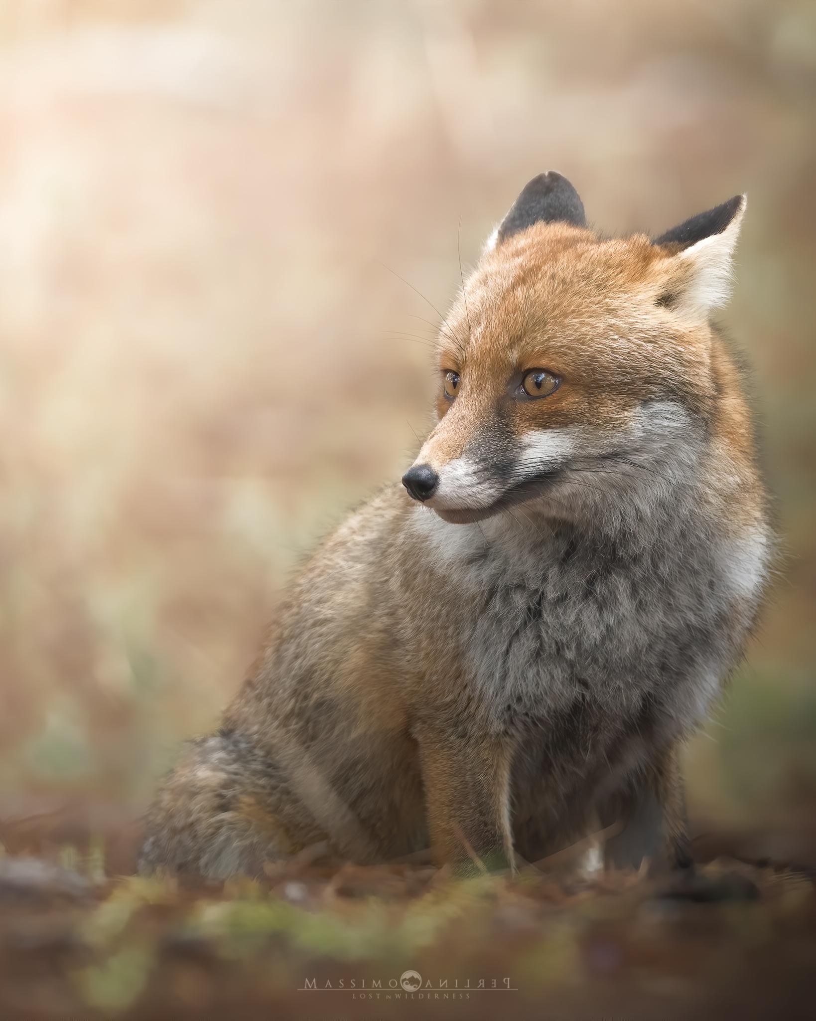 Wary Fox...