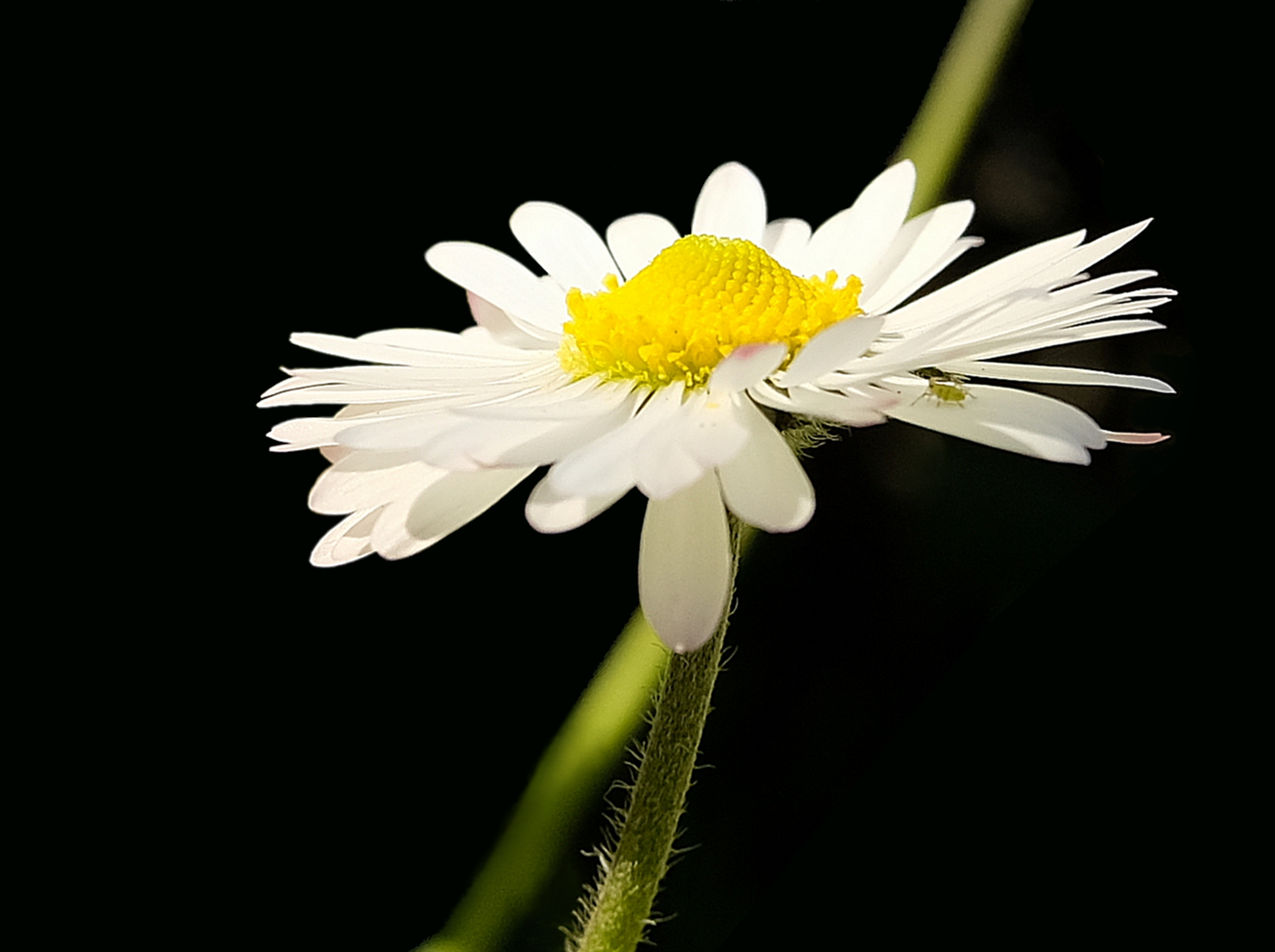 Daisy with small aphid...