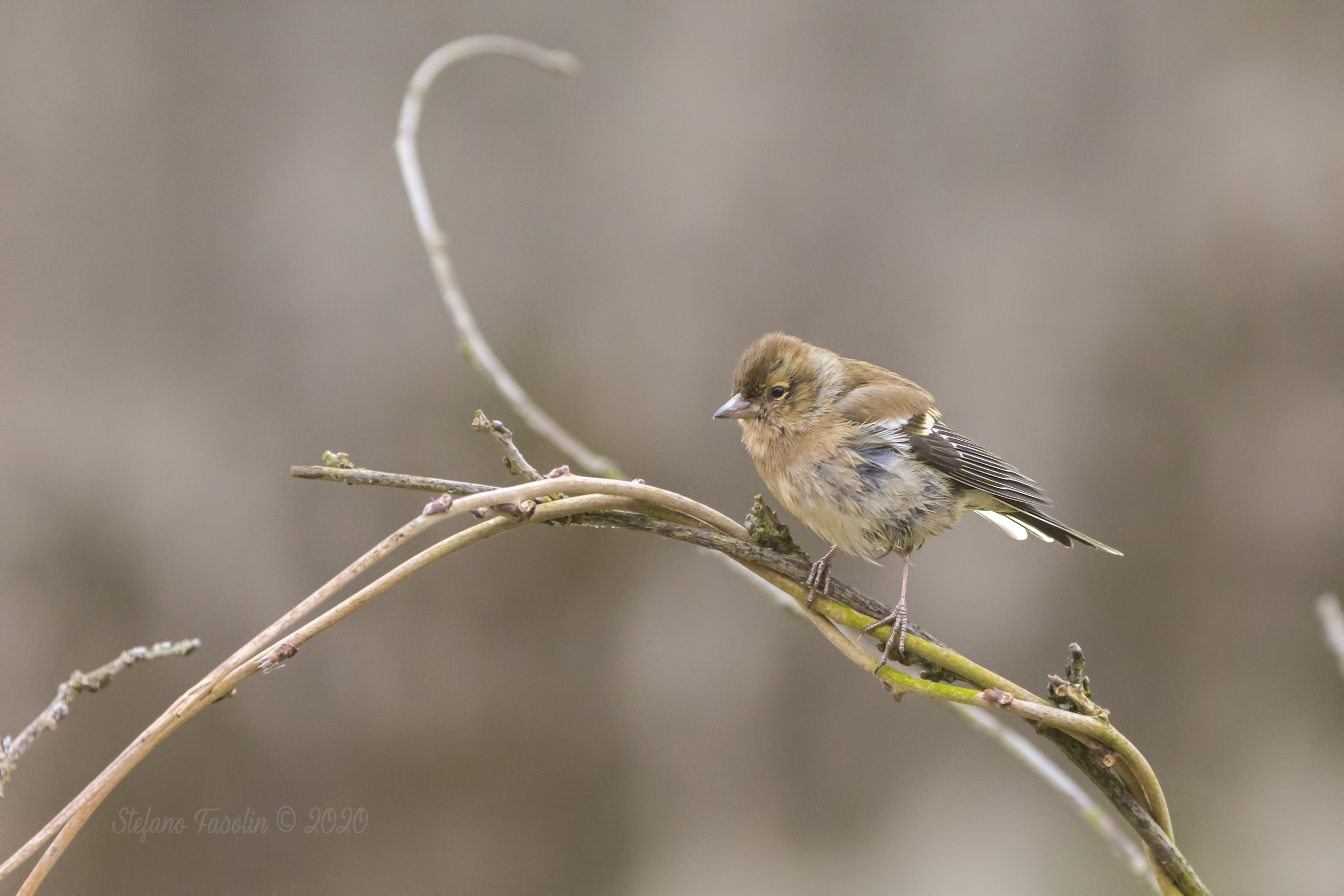 Finches ♀...