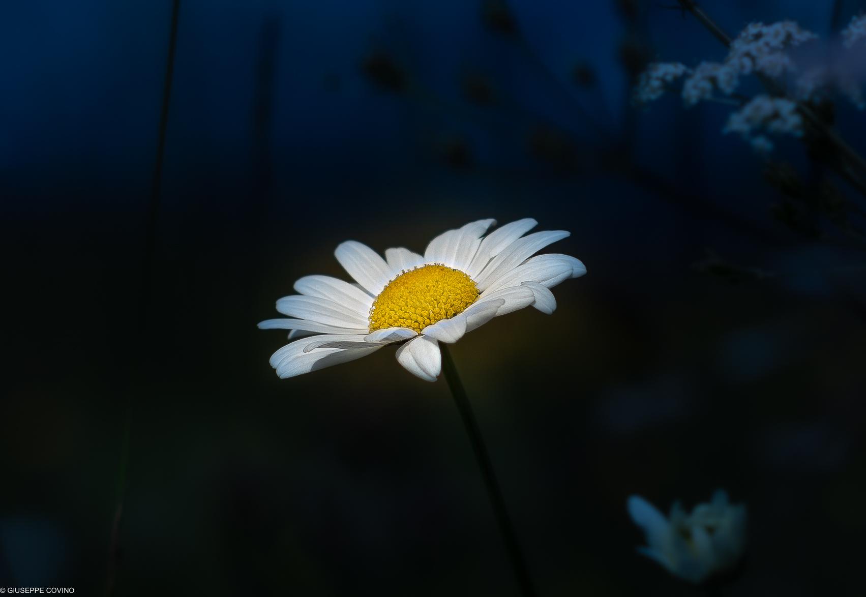 A daisy...