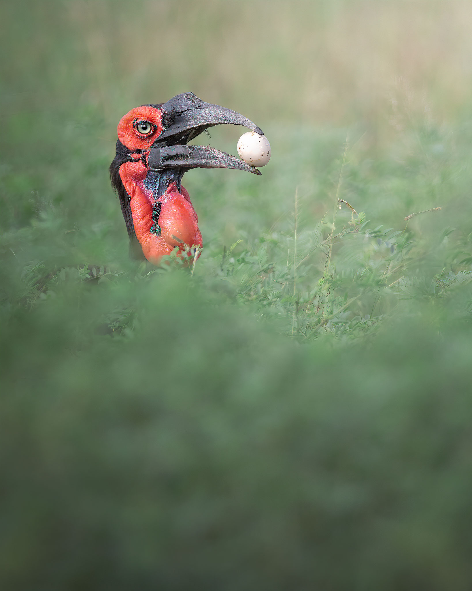 Lunch time - Southern ground hornbill...