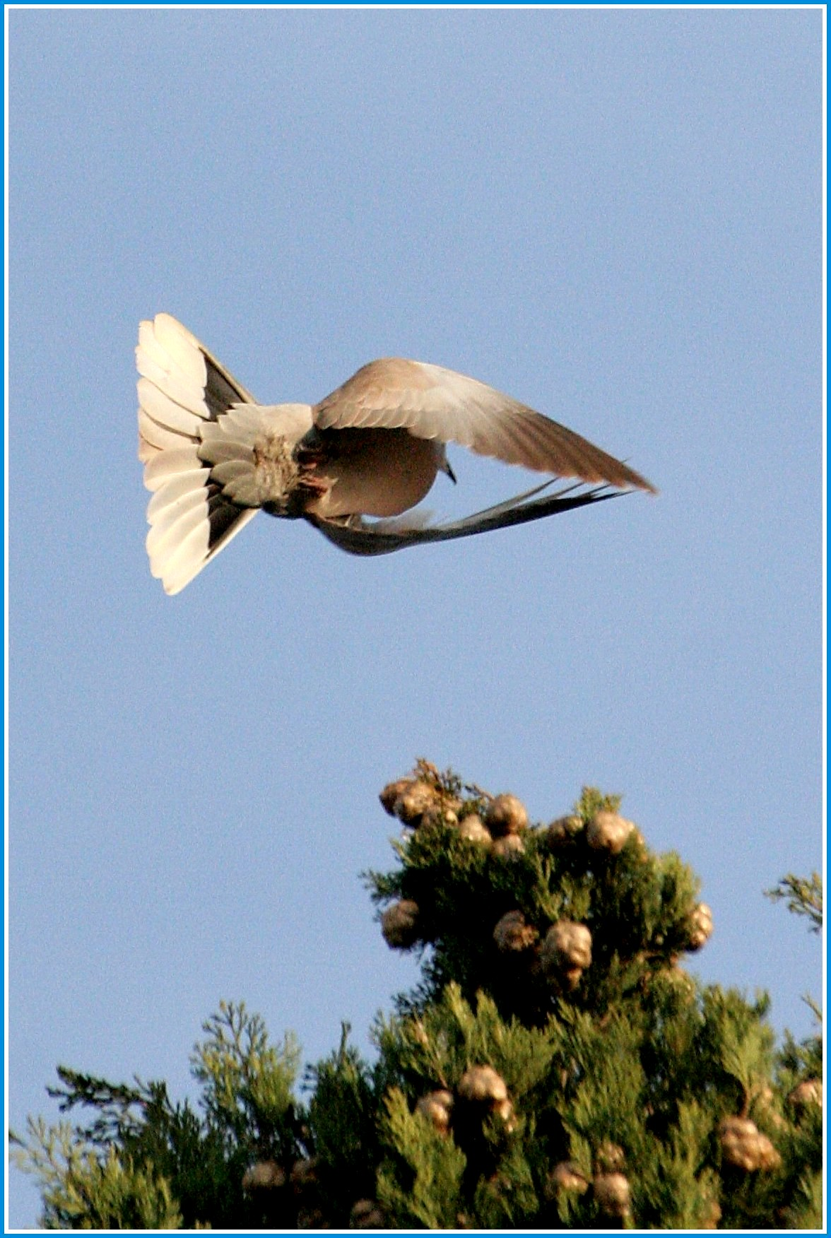 dove in flight...
