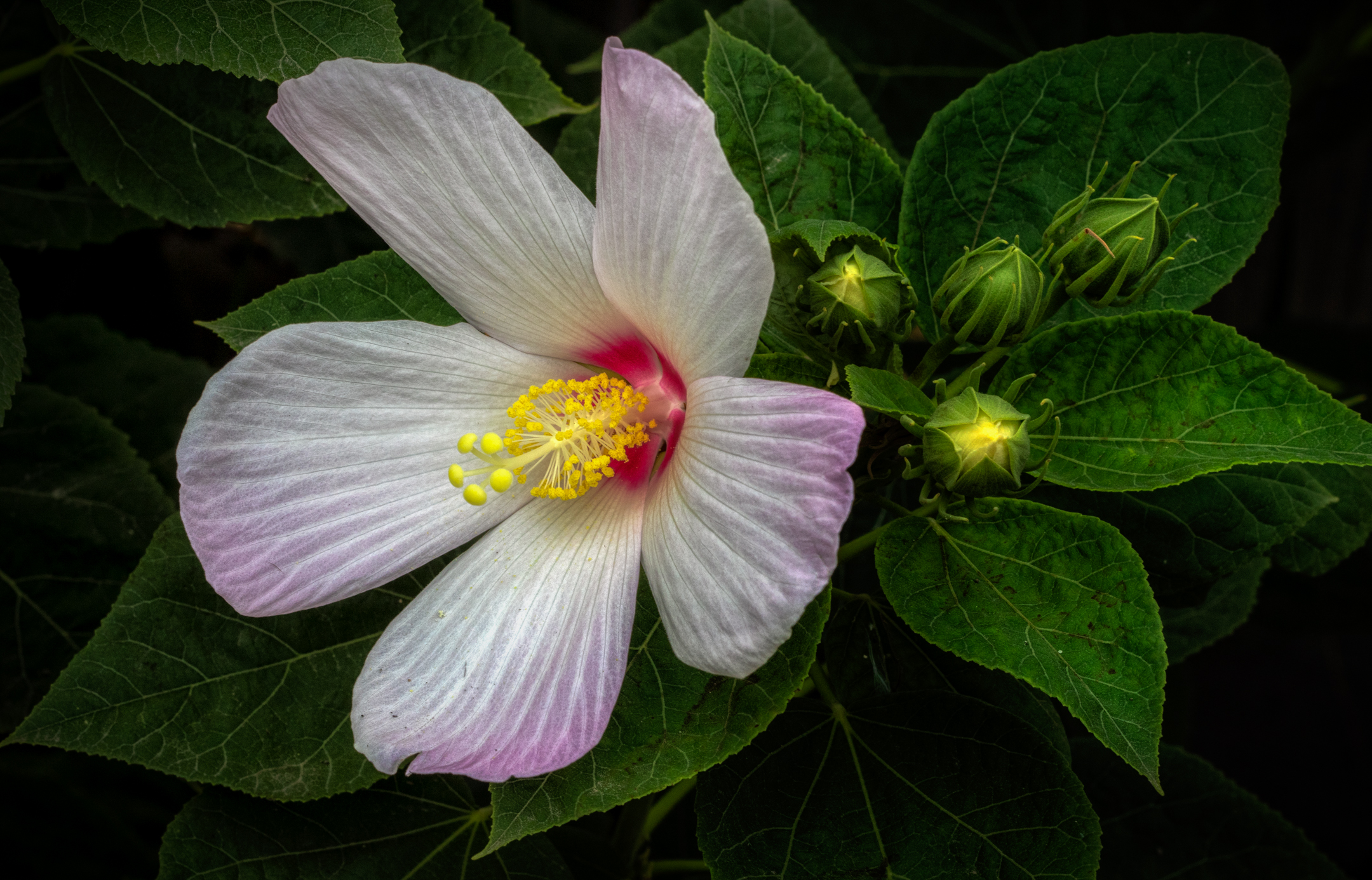 """In cortile, """"Hibiscus""""...."""