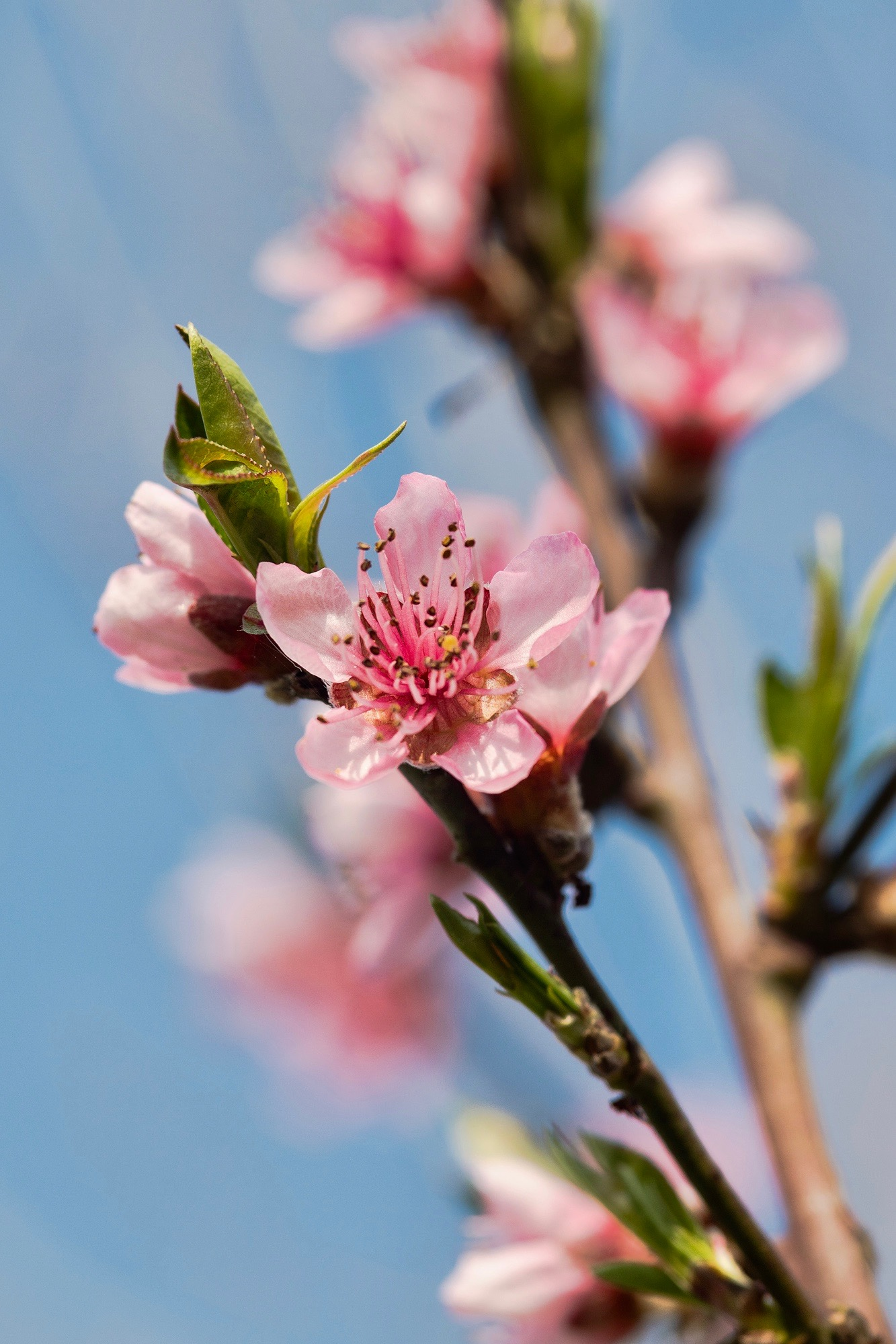 peach in bloom...