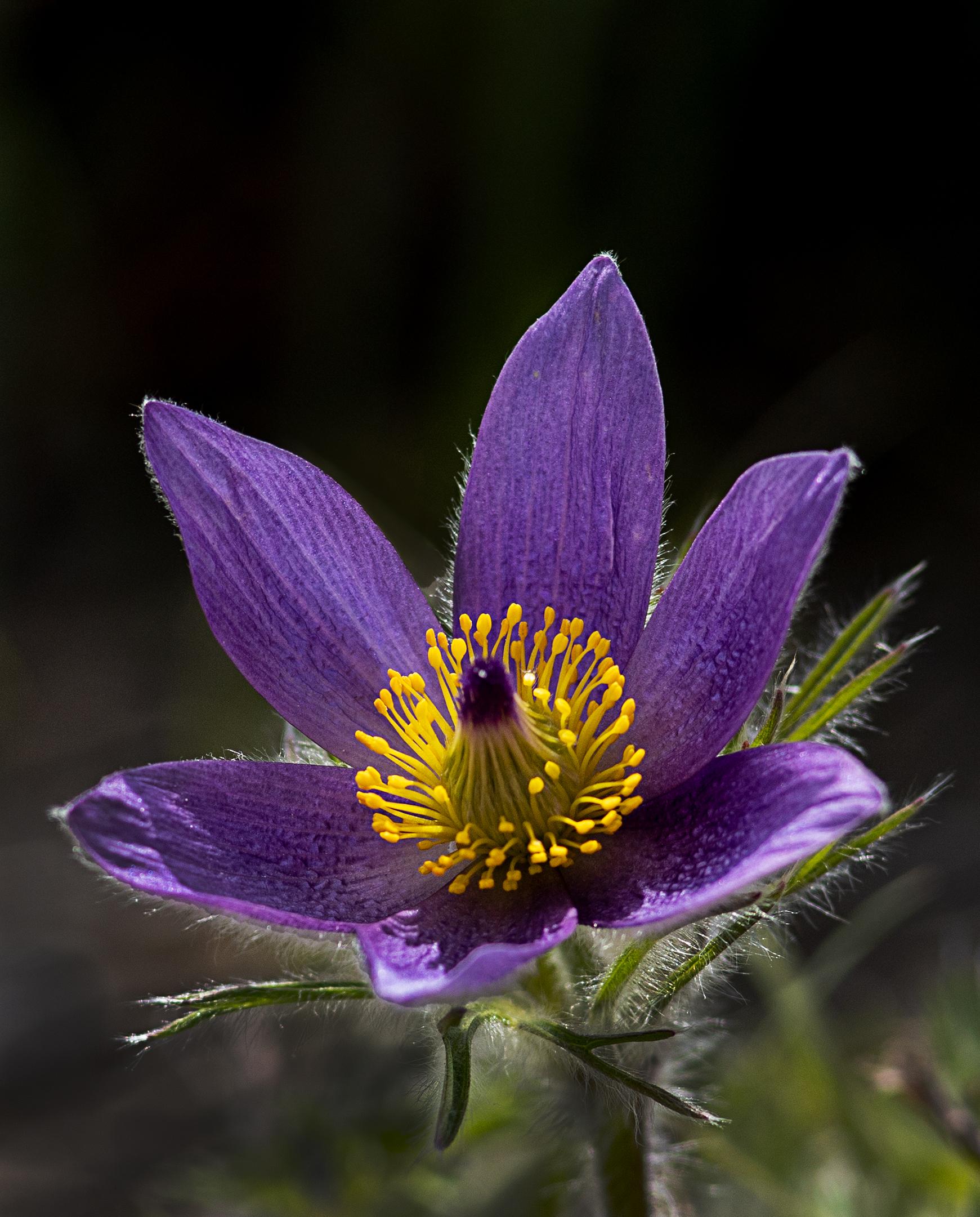 Blu Pasque Fiore...
